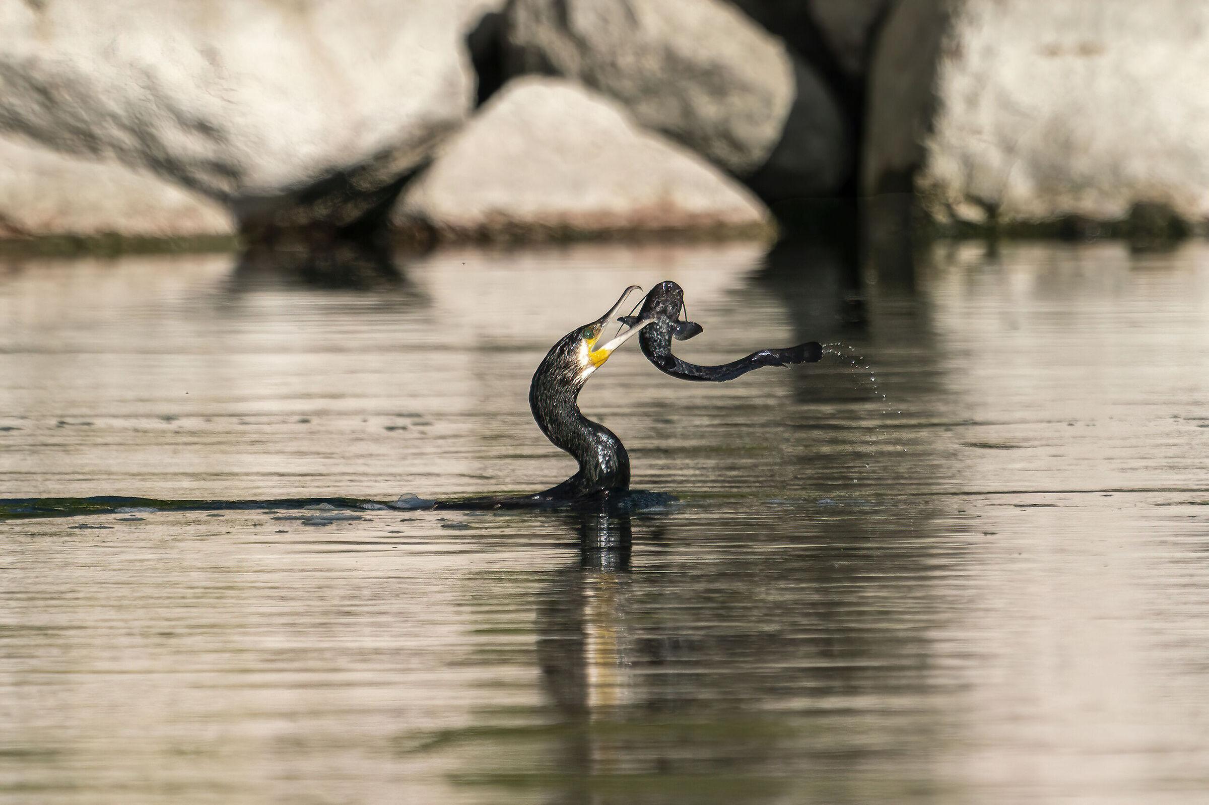 The Cormorant Snack...