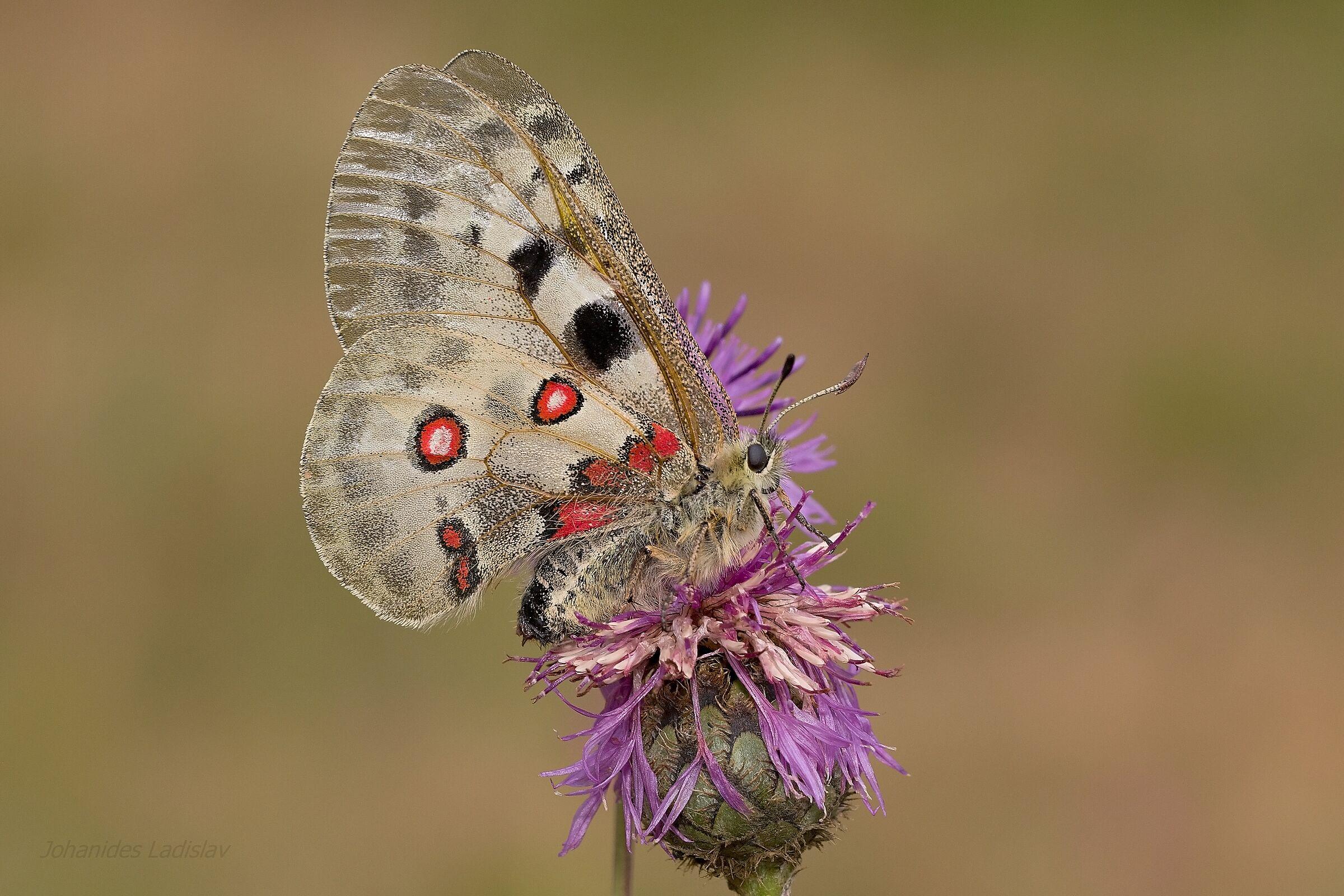 Parnassius apollo (female)...
