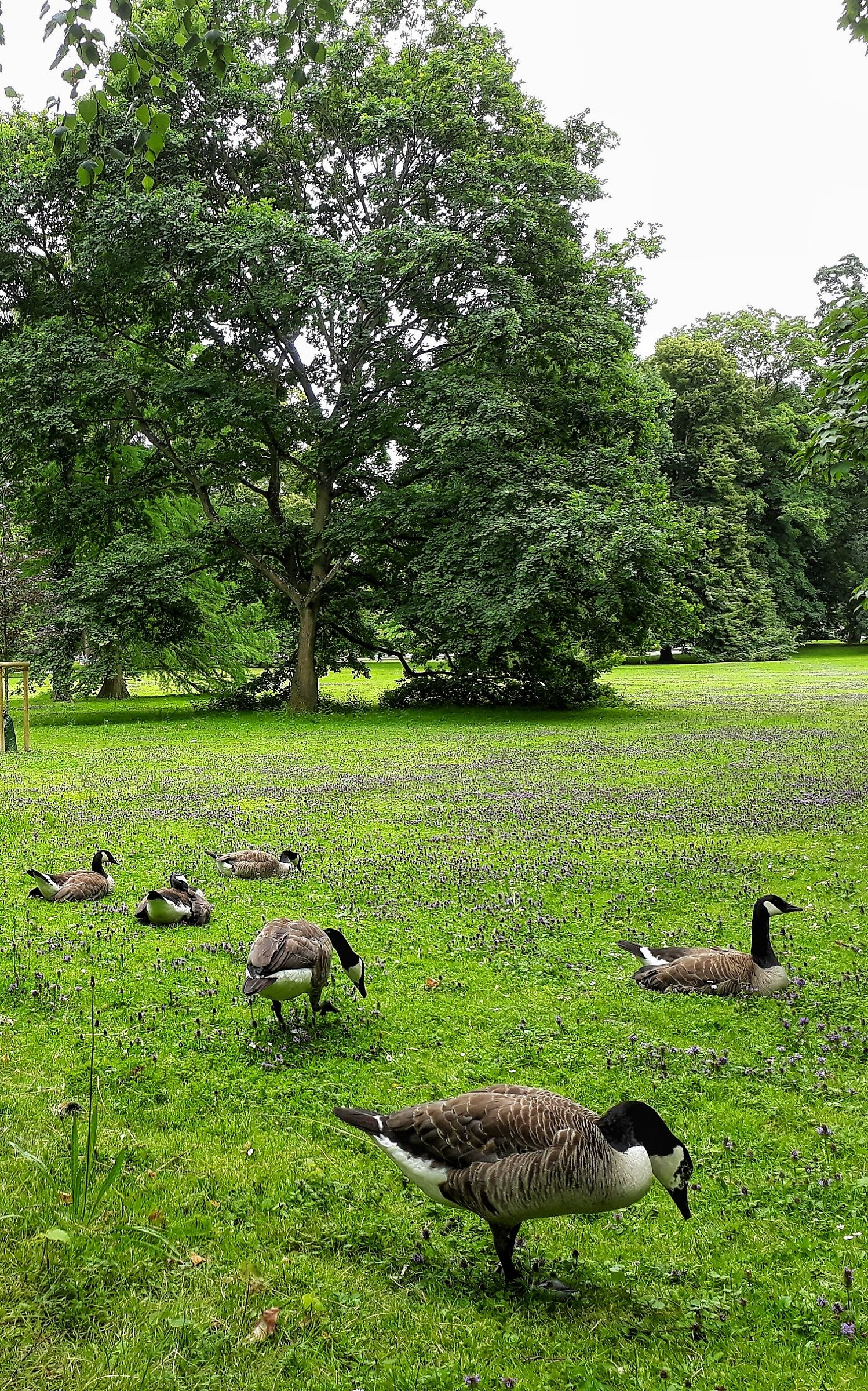 Canada geese...