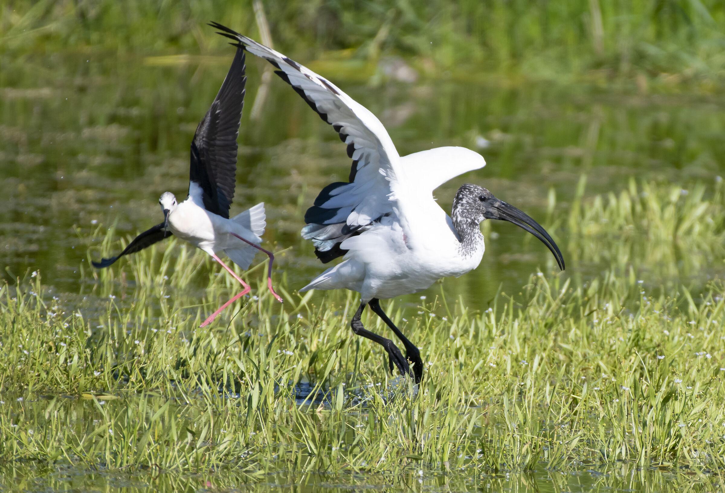 Cavalieri d'Italia versus ibis sacro...