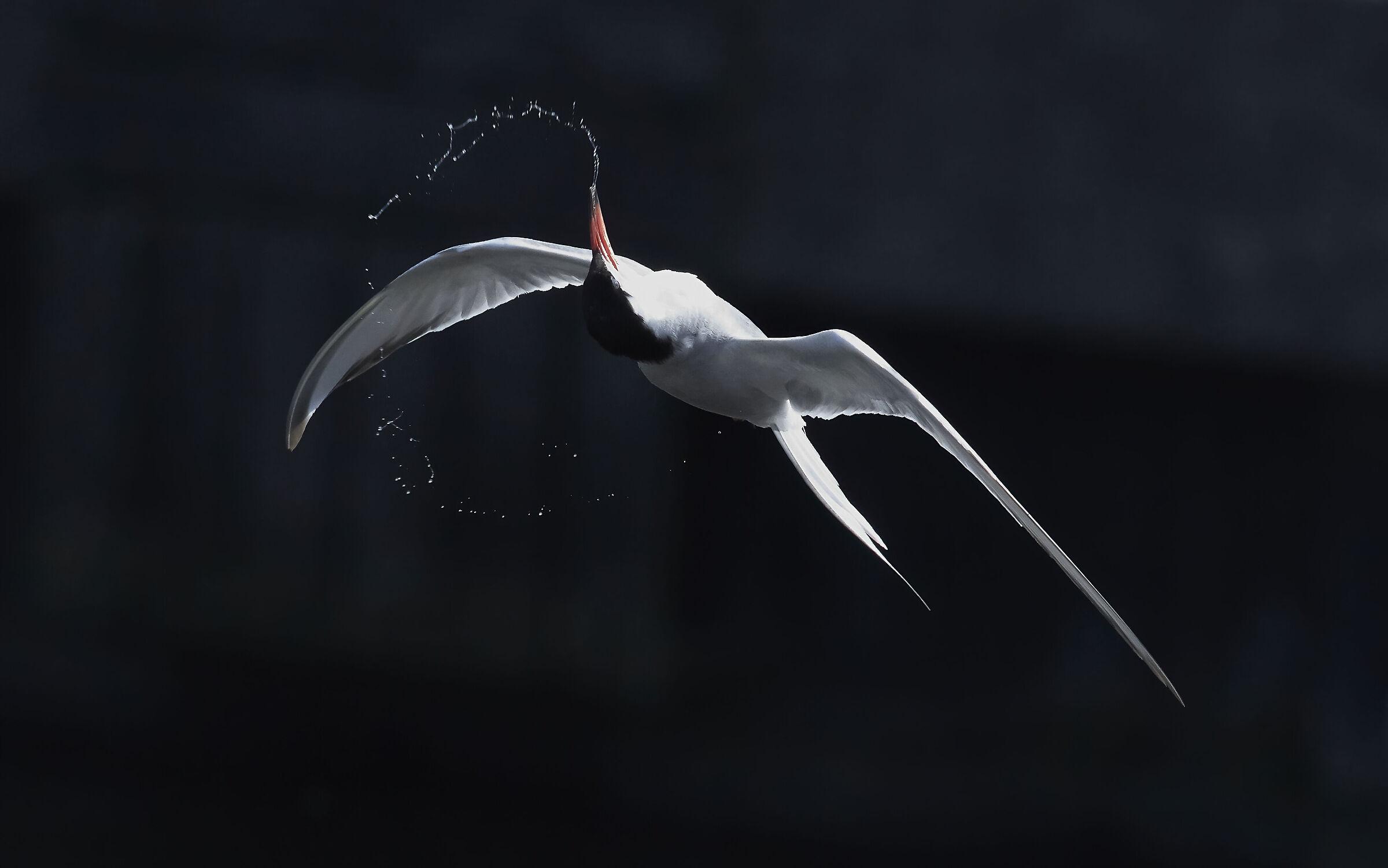 Little Tern...