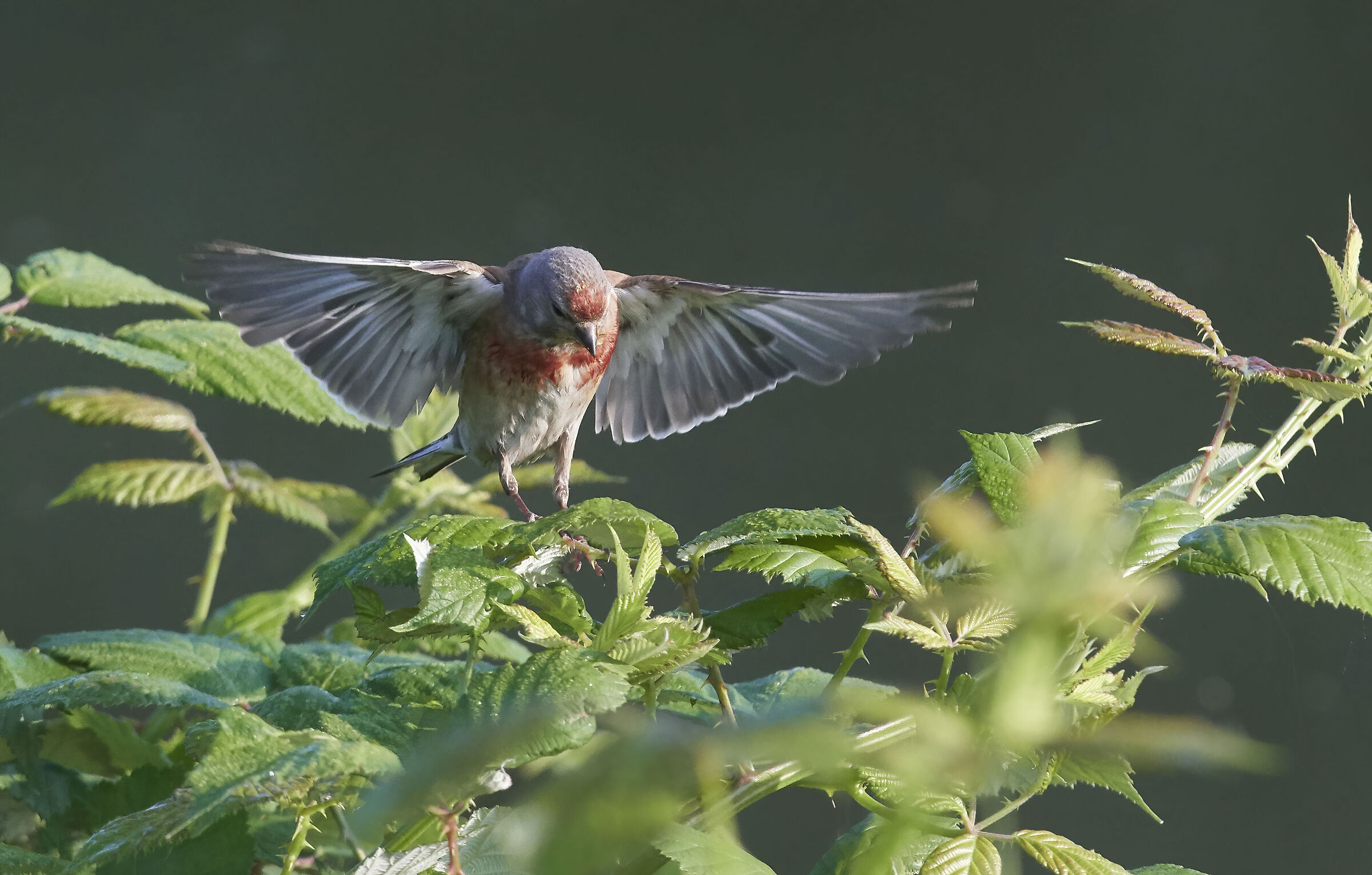 Common Linnet insect hunting...