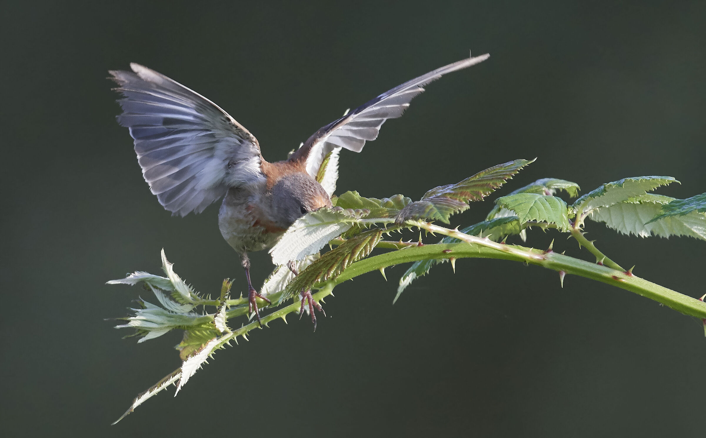 Common Linnet insect hunting II...