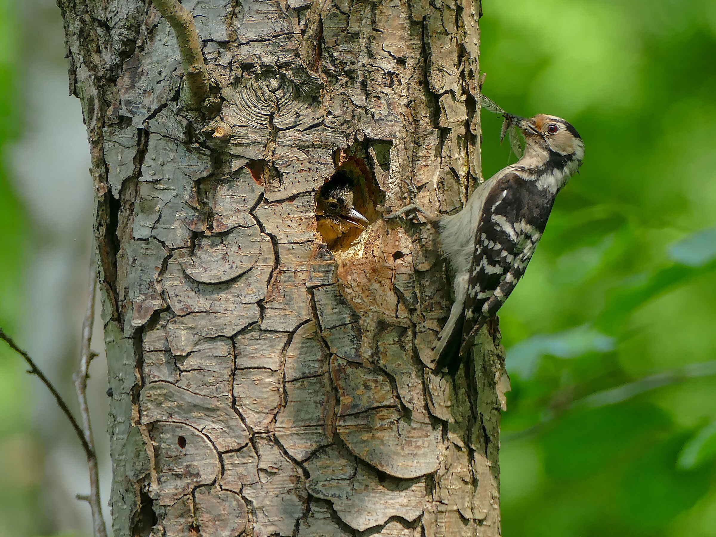 Woodpecker 3...