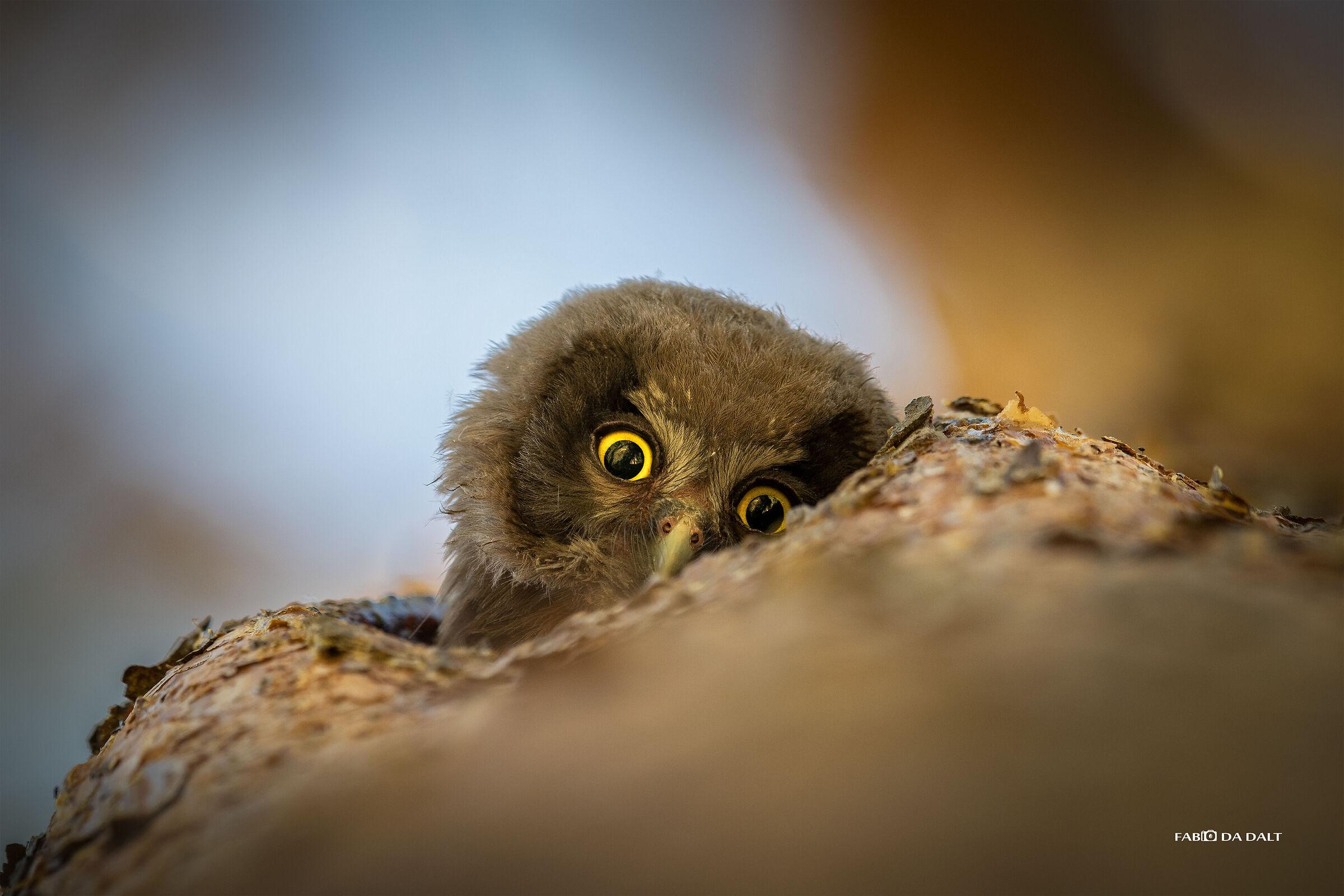 Owl Capogrosso...