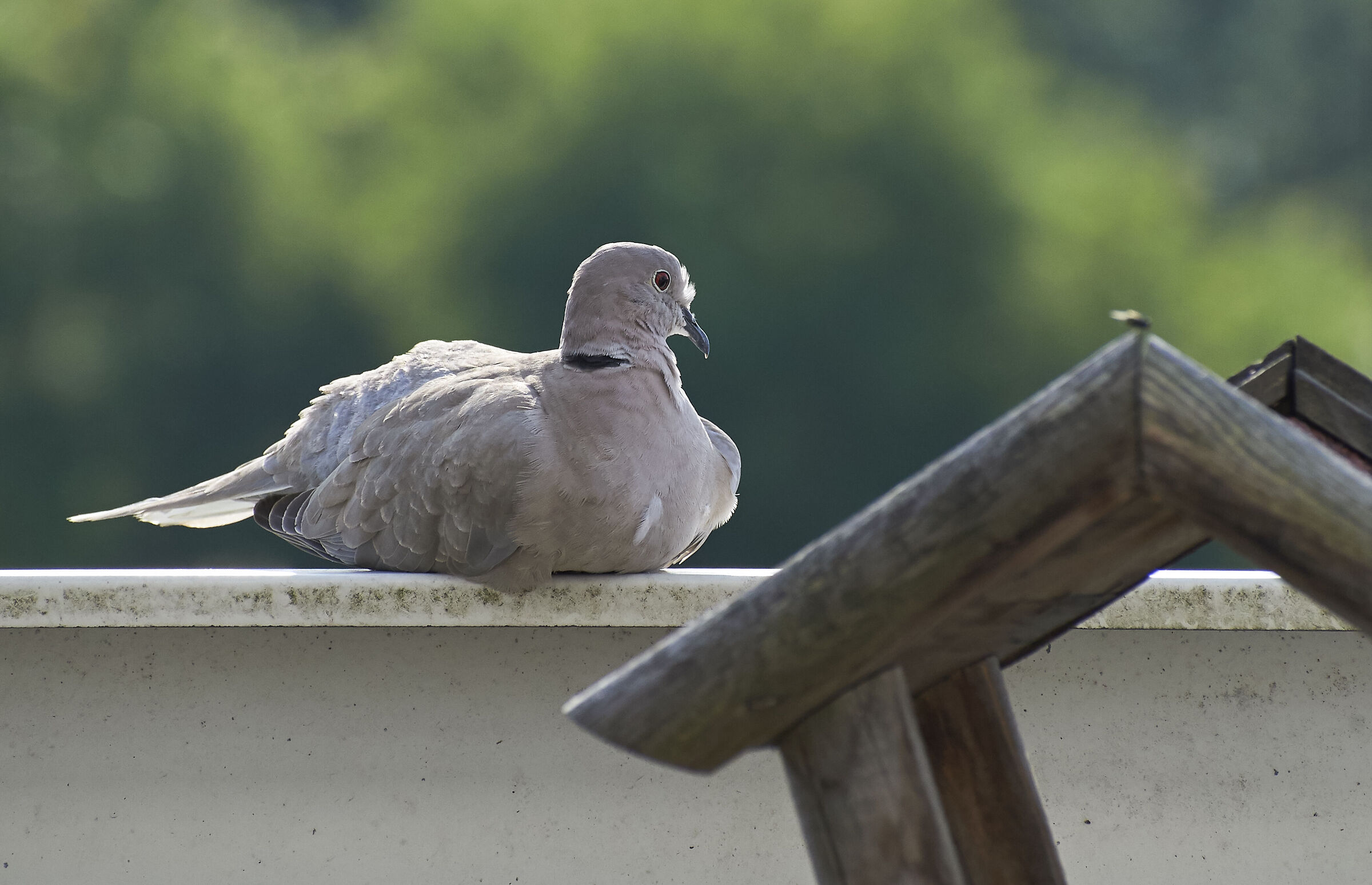 Young Collared Dove at home...