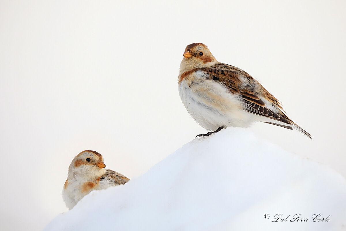Zigoli delle nevi...