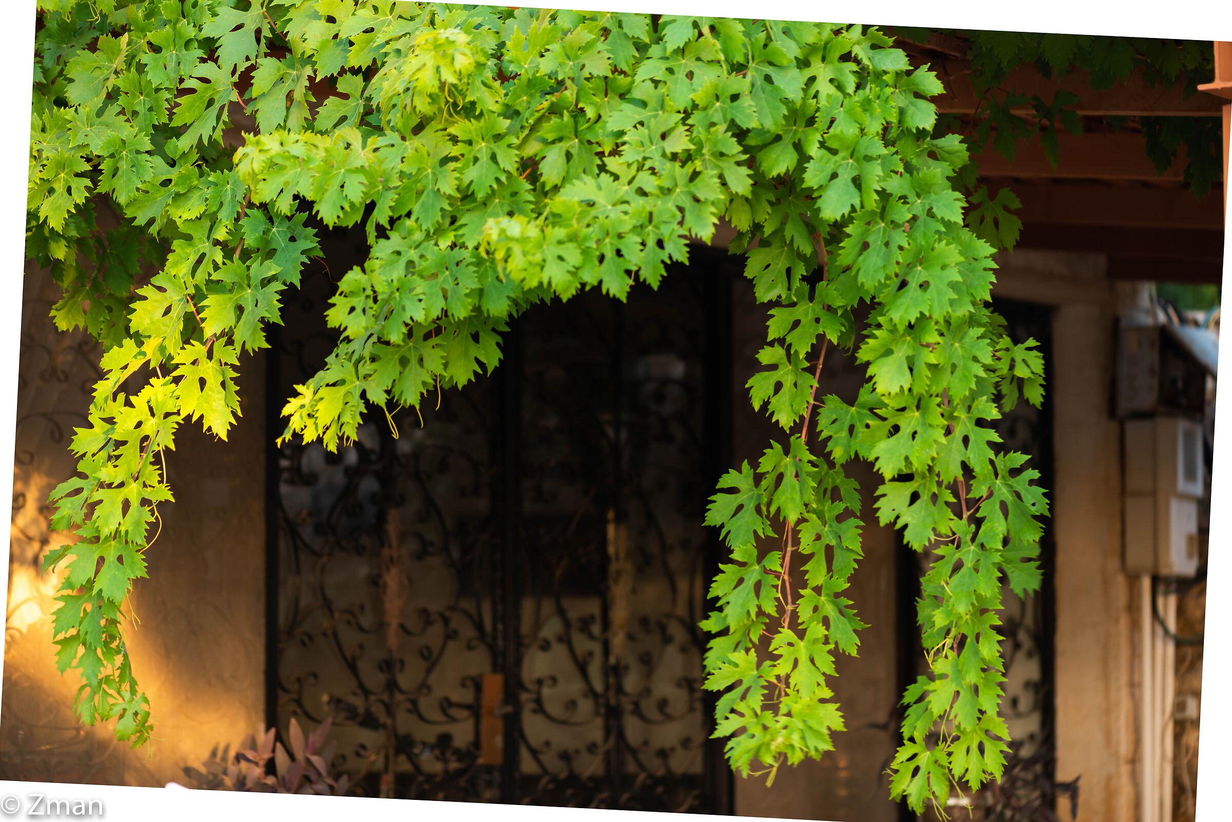Vine Leaves...