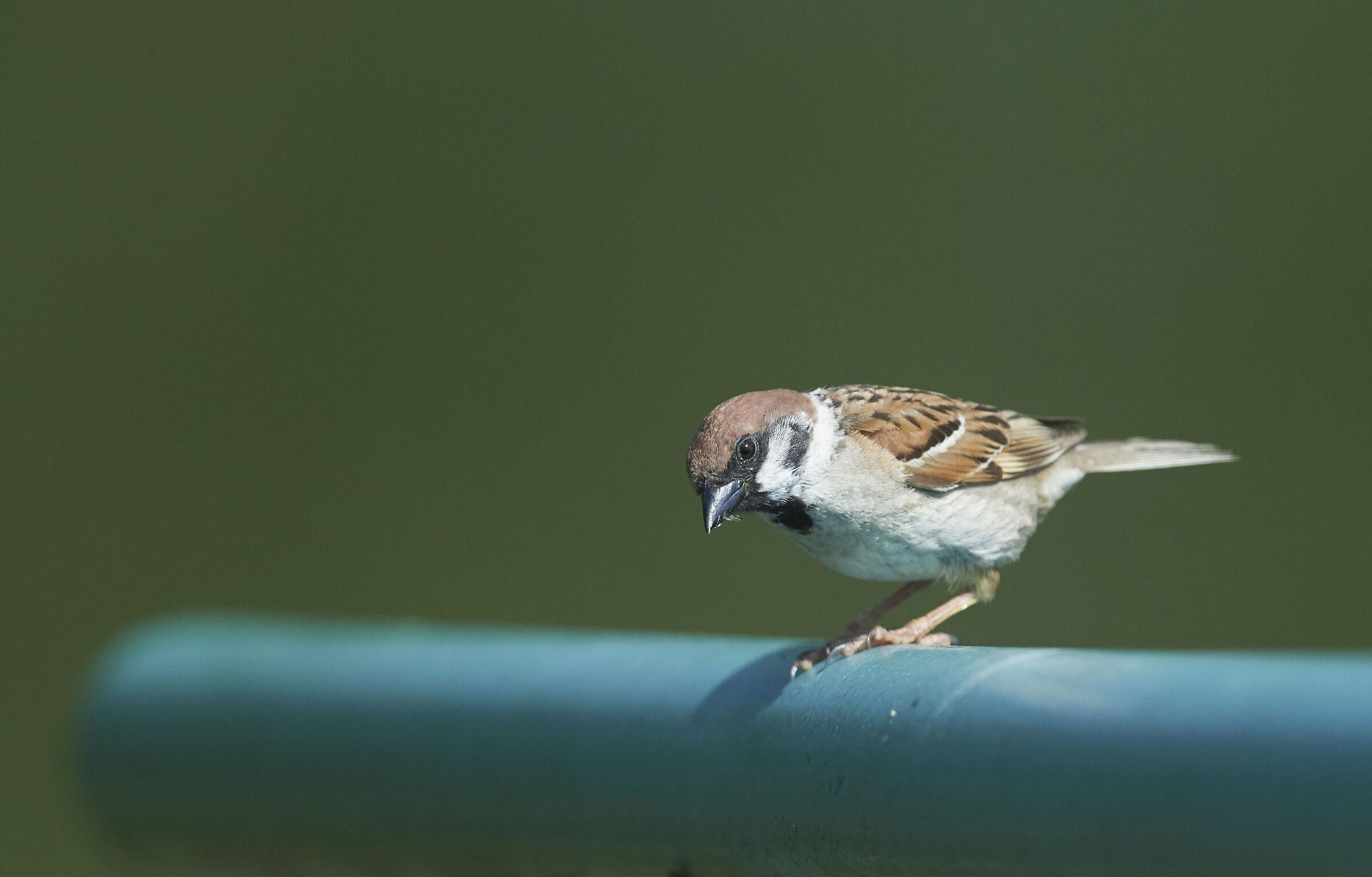 Just a House Sparrow...