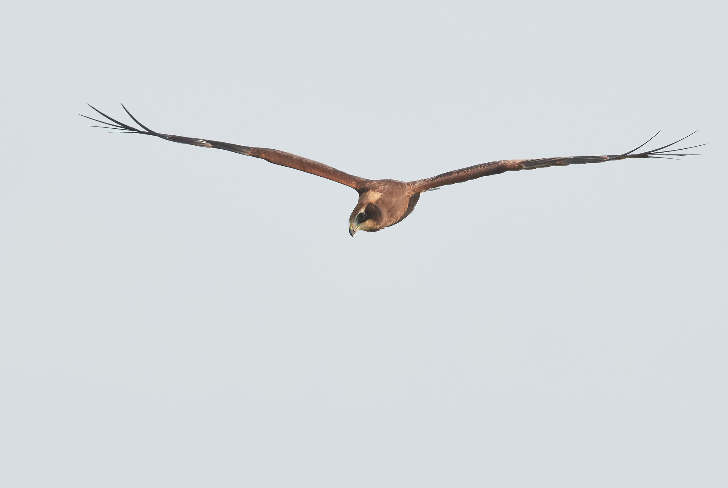 Marsh Harrier frontal against cloudy sky...