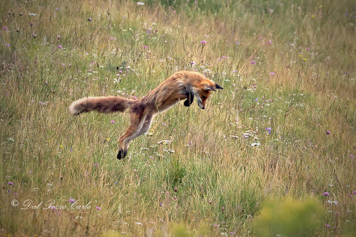 Fox on the hunt...
