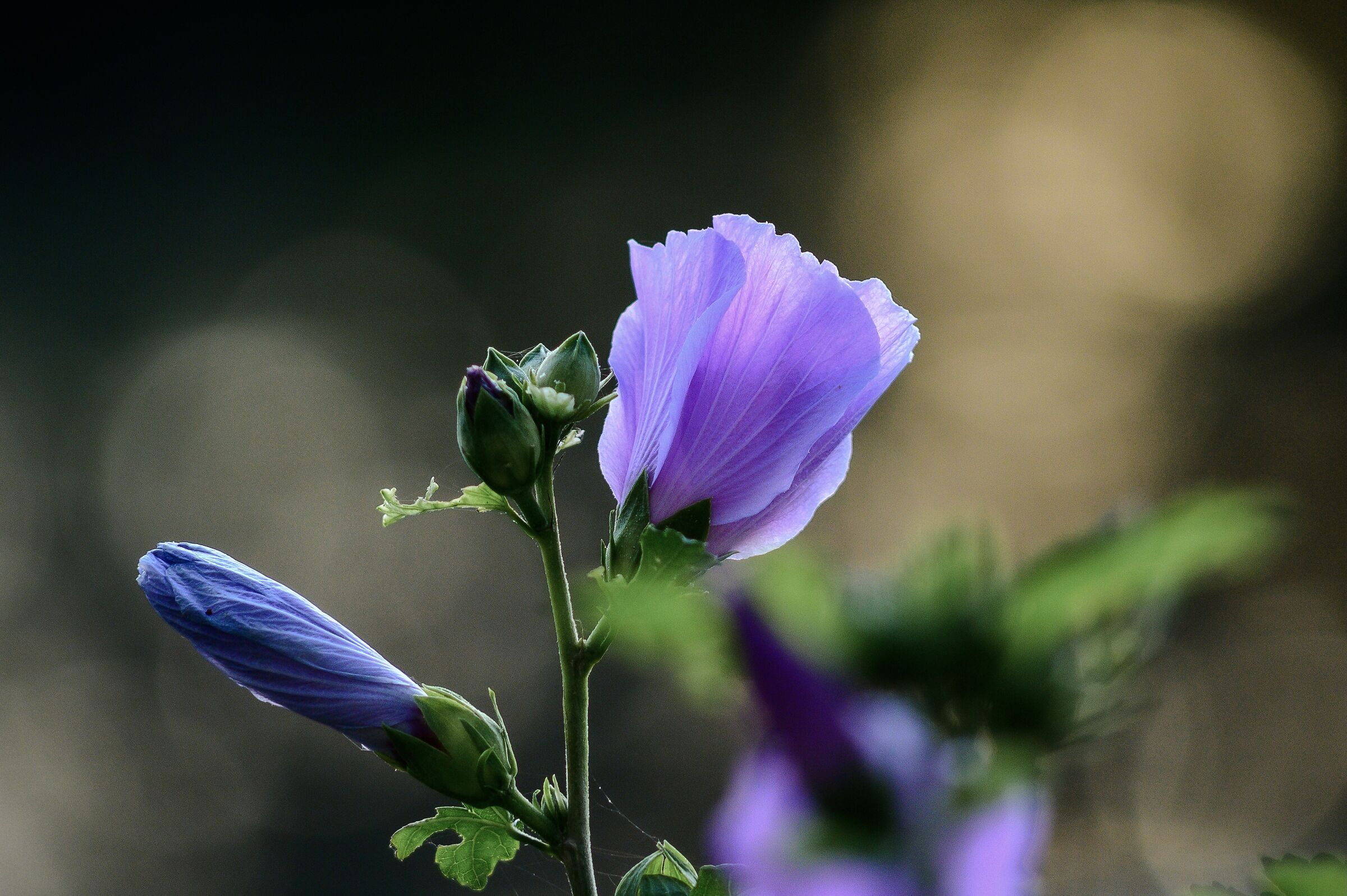 Hibiscus 2...