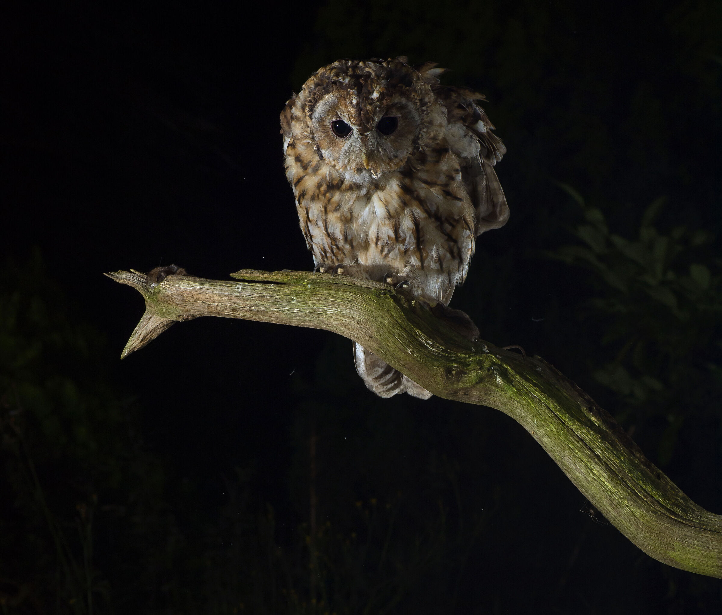 Tawny owl in front of my hide...