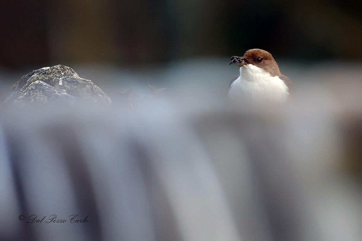 White-throated dipper...