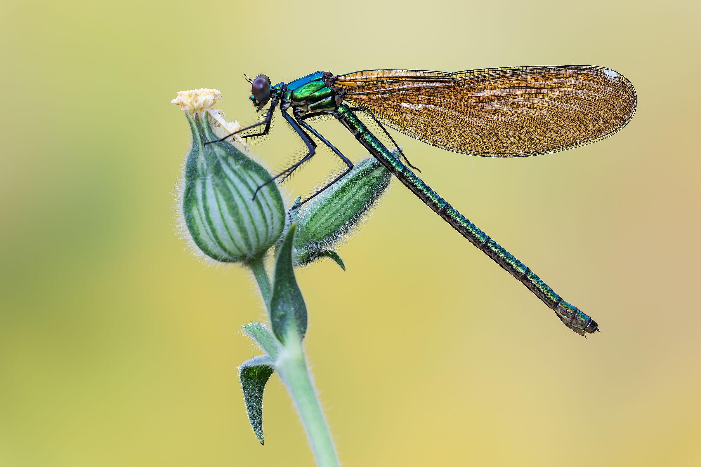 Calopteryx splendens...