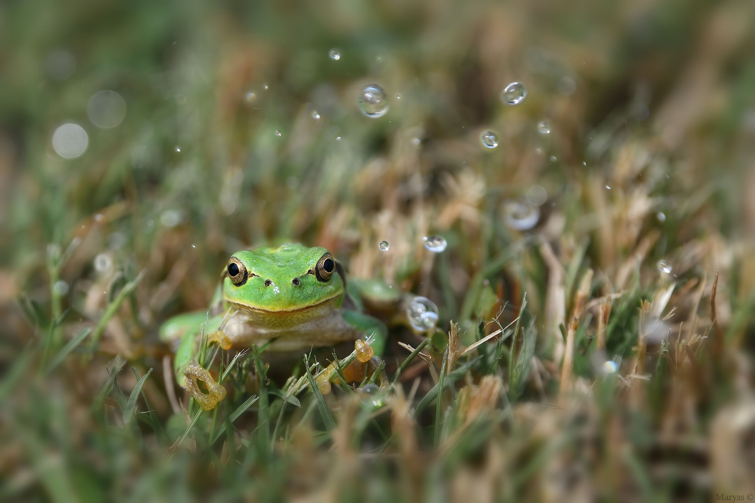 The tree frog and the water...