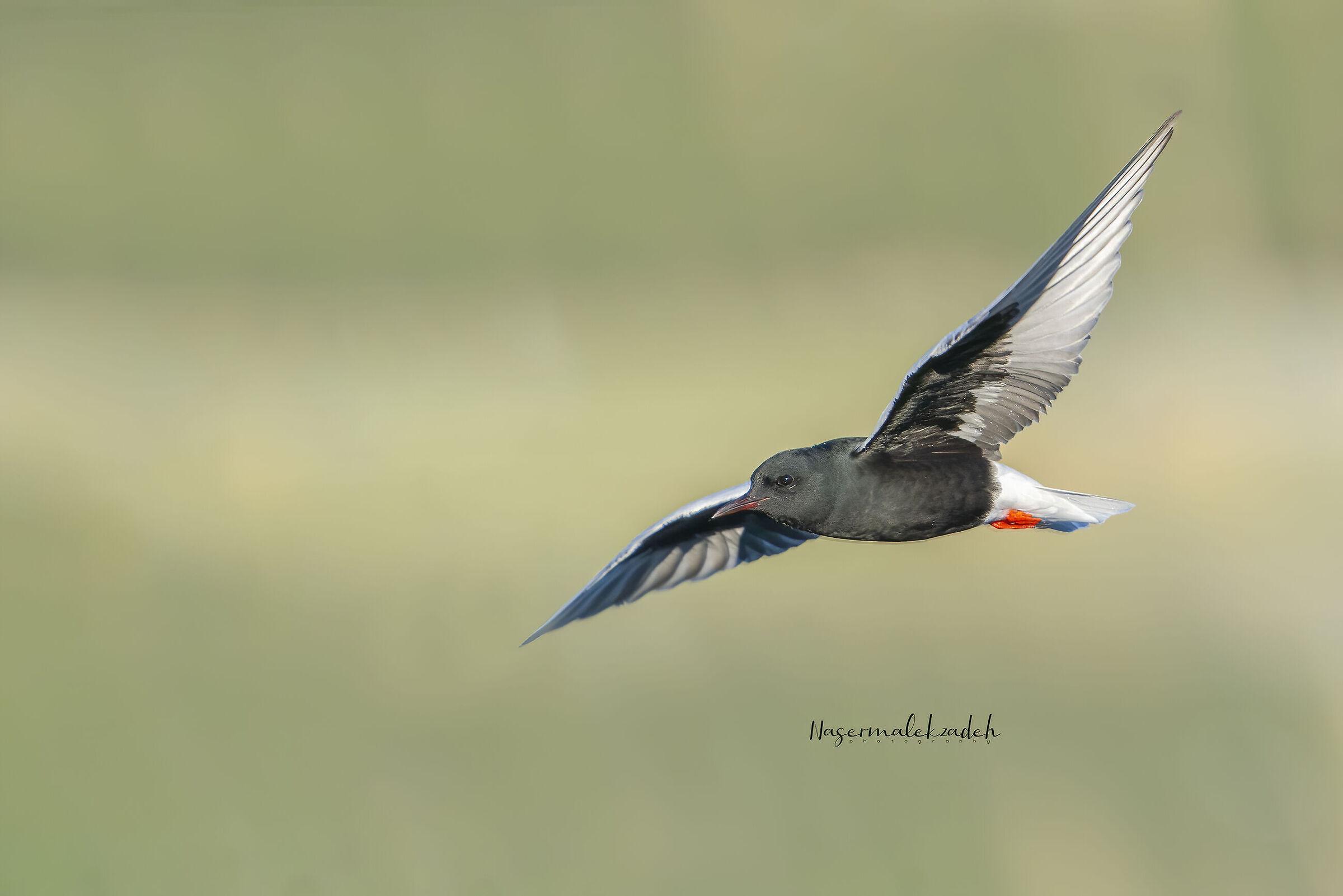 White-winged tern...