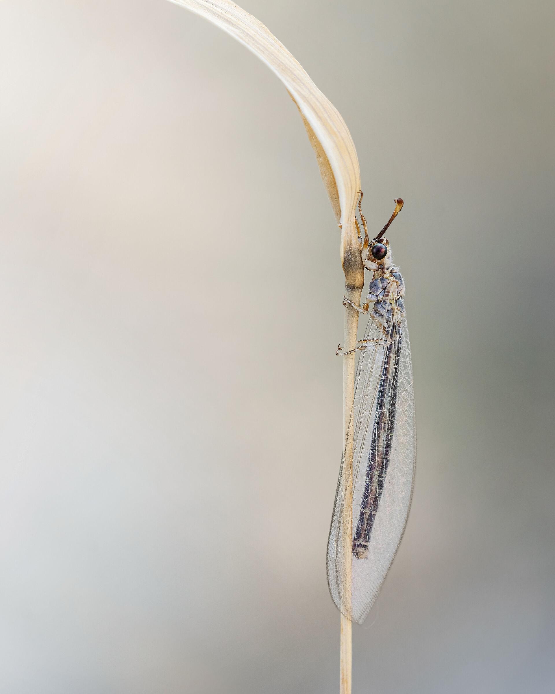 Macronemurus appendiculatus 2...