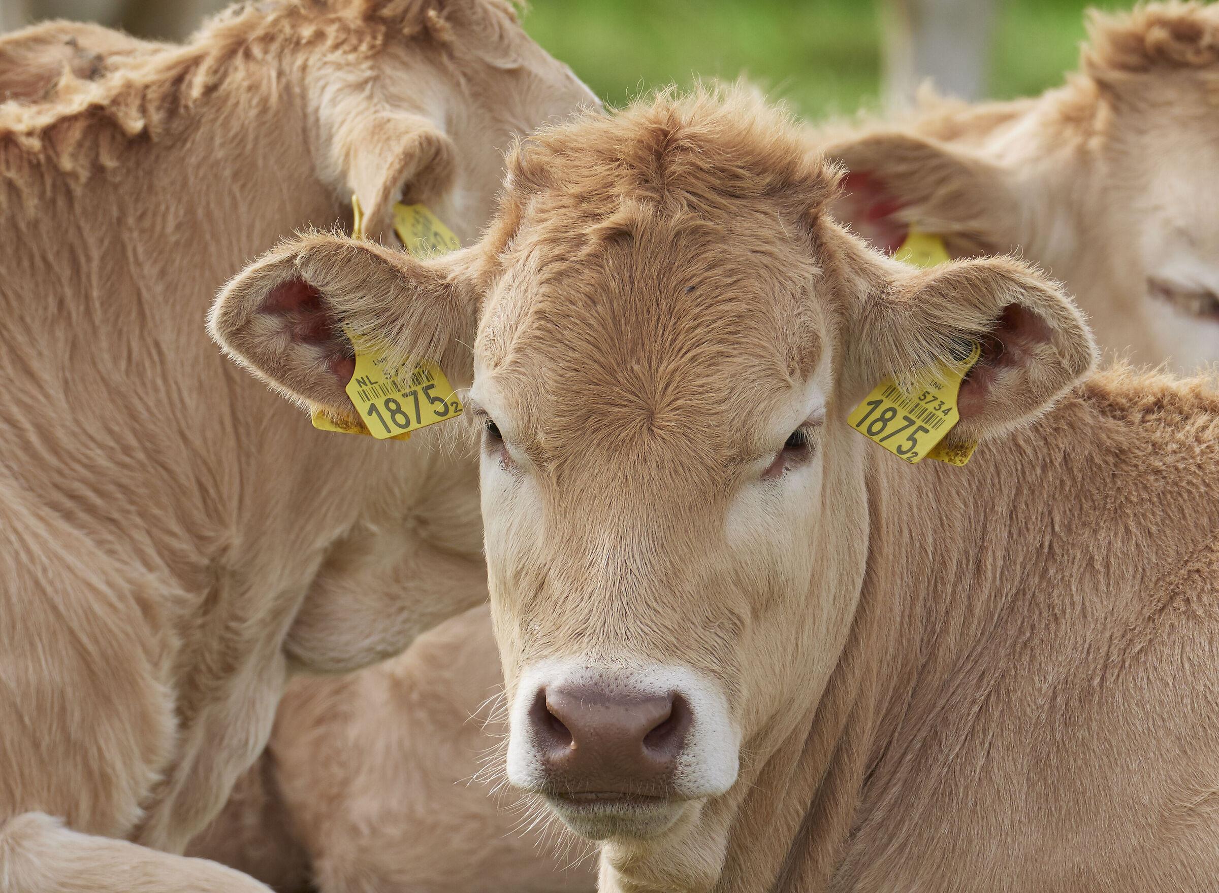 Cow...