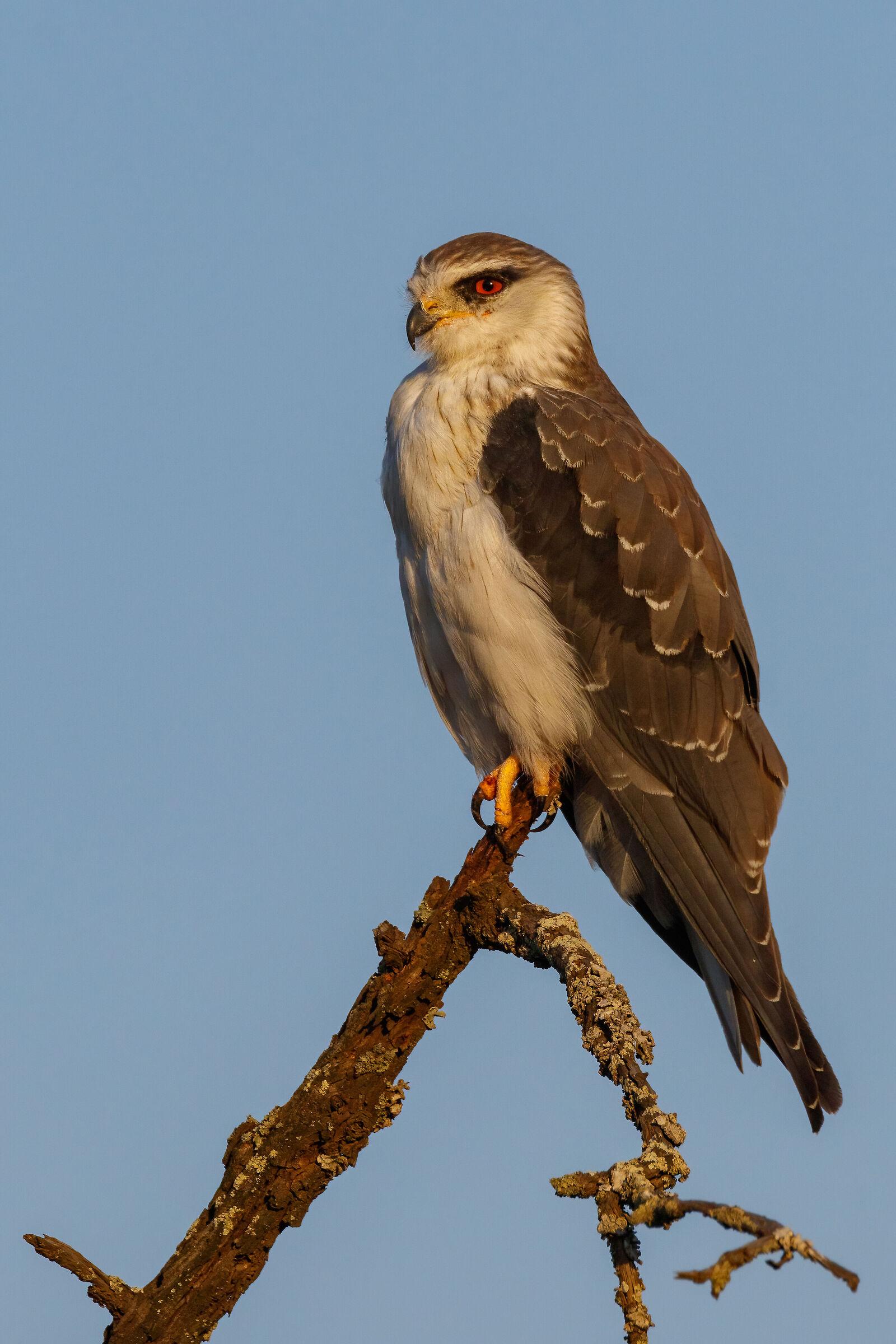 Juvenile Black-shoulderd Kite...
