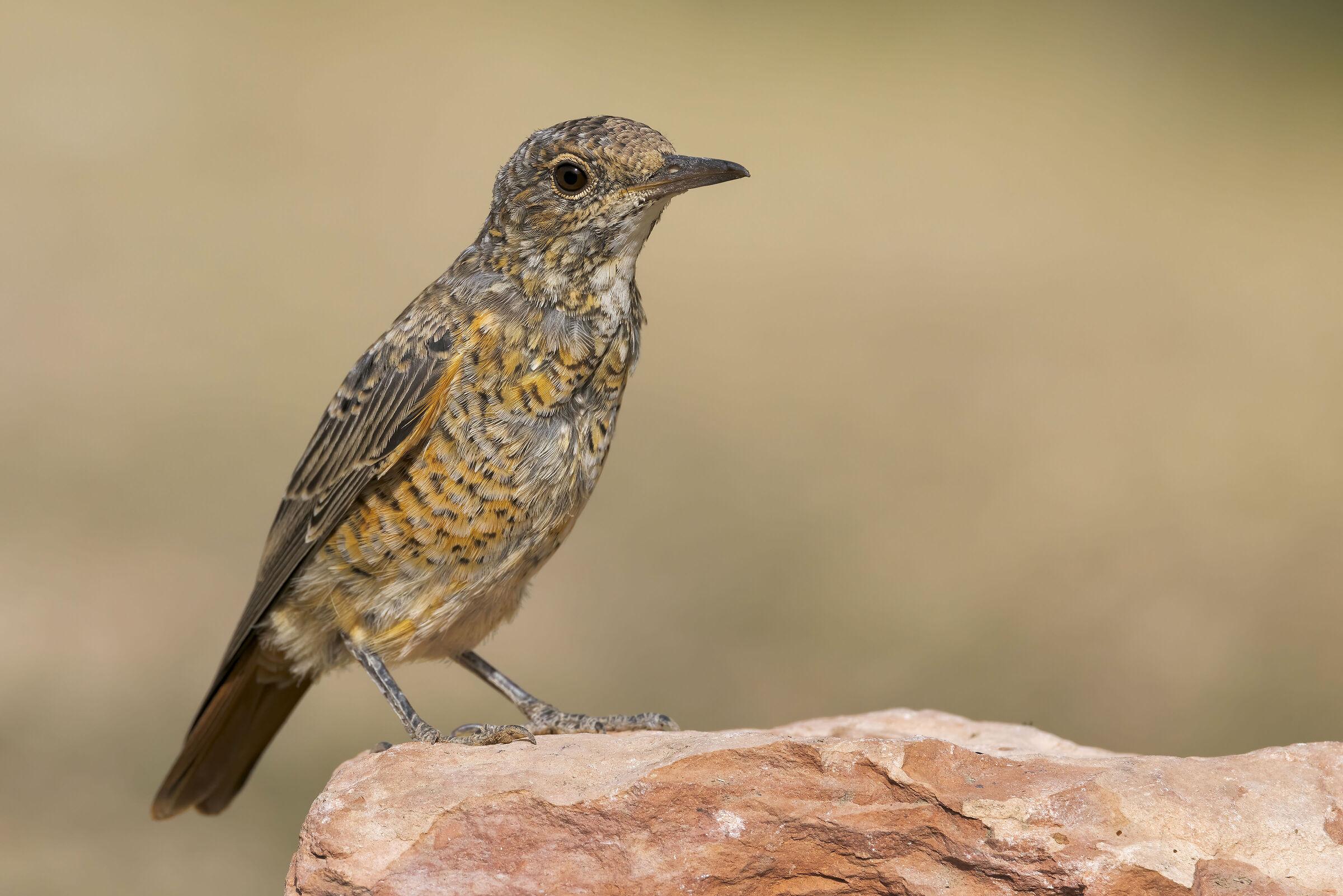 Redstart (Monticola saxatilis)...