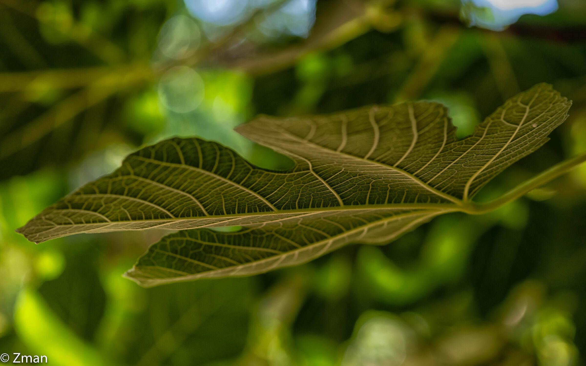 Fig Leaf...