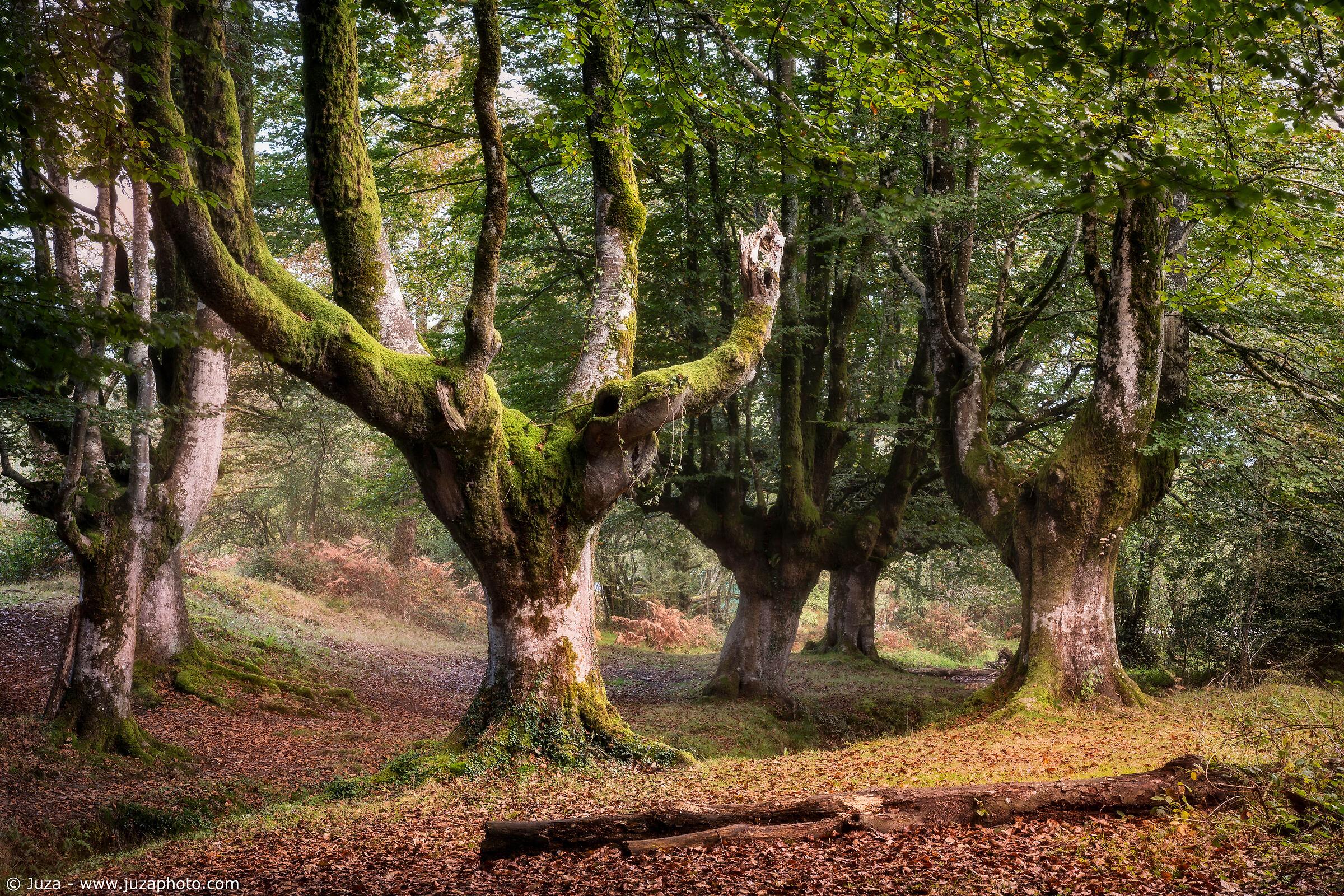 The beech forest of Otzarreta...