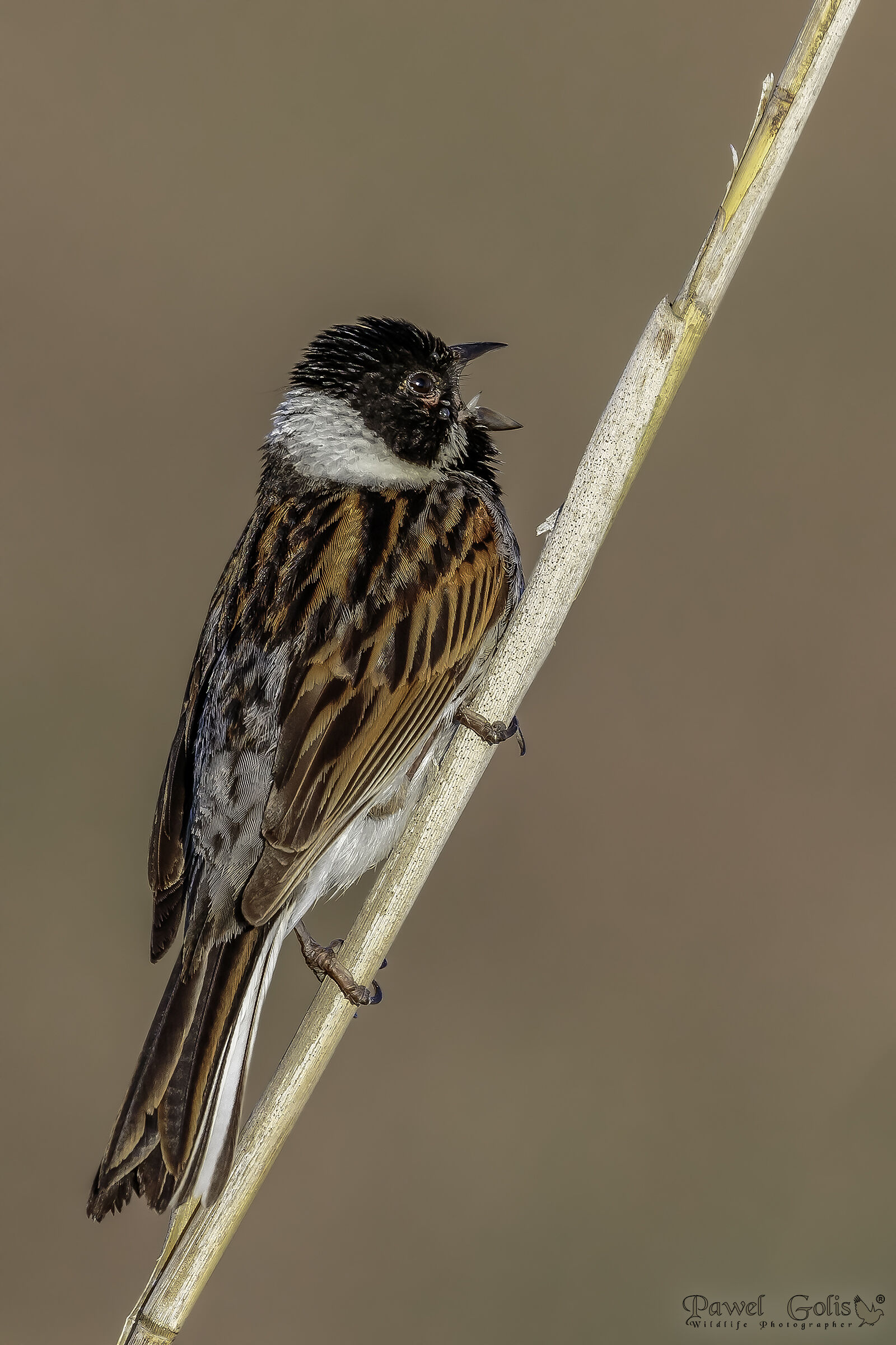 Common reed bunting (Emberiza schoeniclus)...