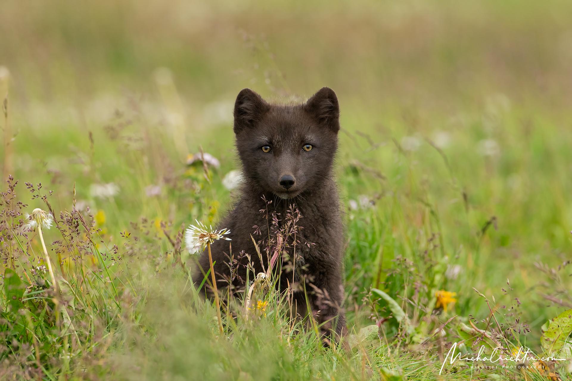 Vulpes lagopus (Arctic fox)...