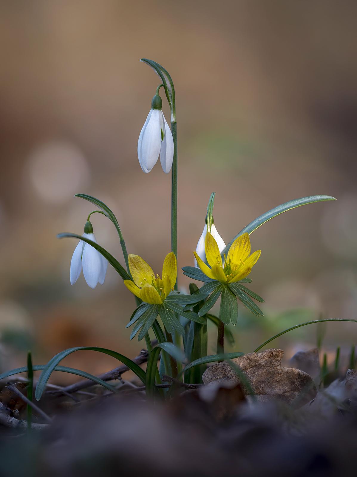 Galanthus nivalis - Eranthis hyemalis...