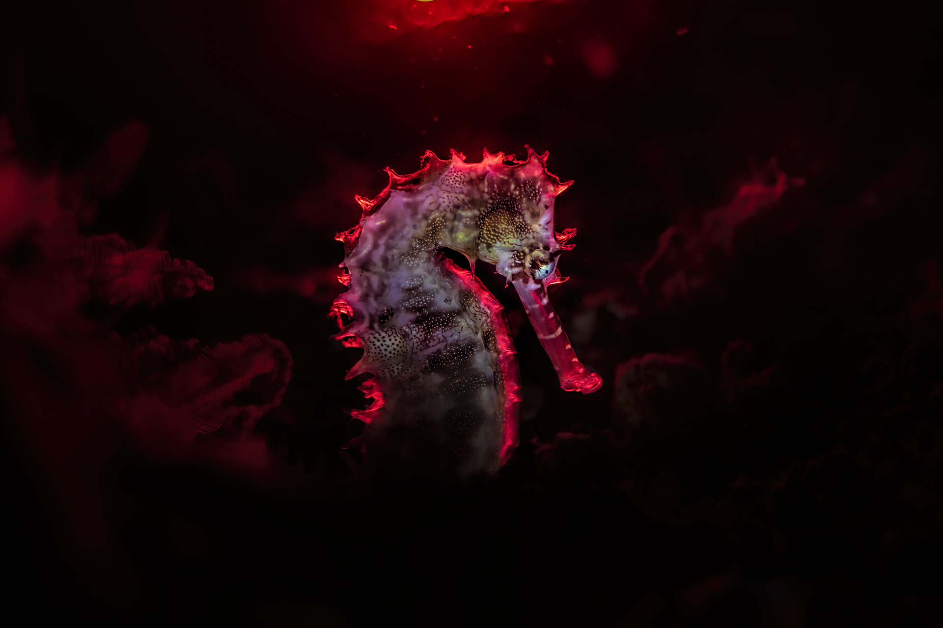 seahorse istrice red backlight...
