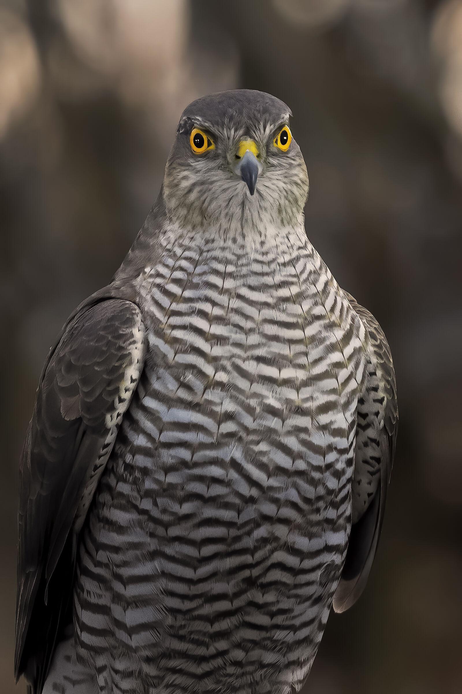 Crop sparrowhawk...
