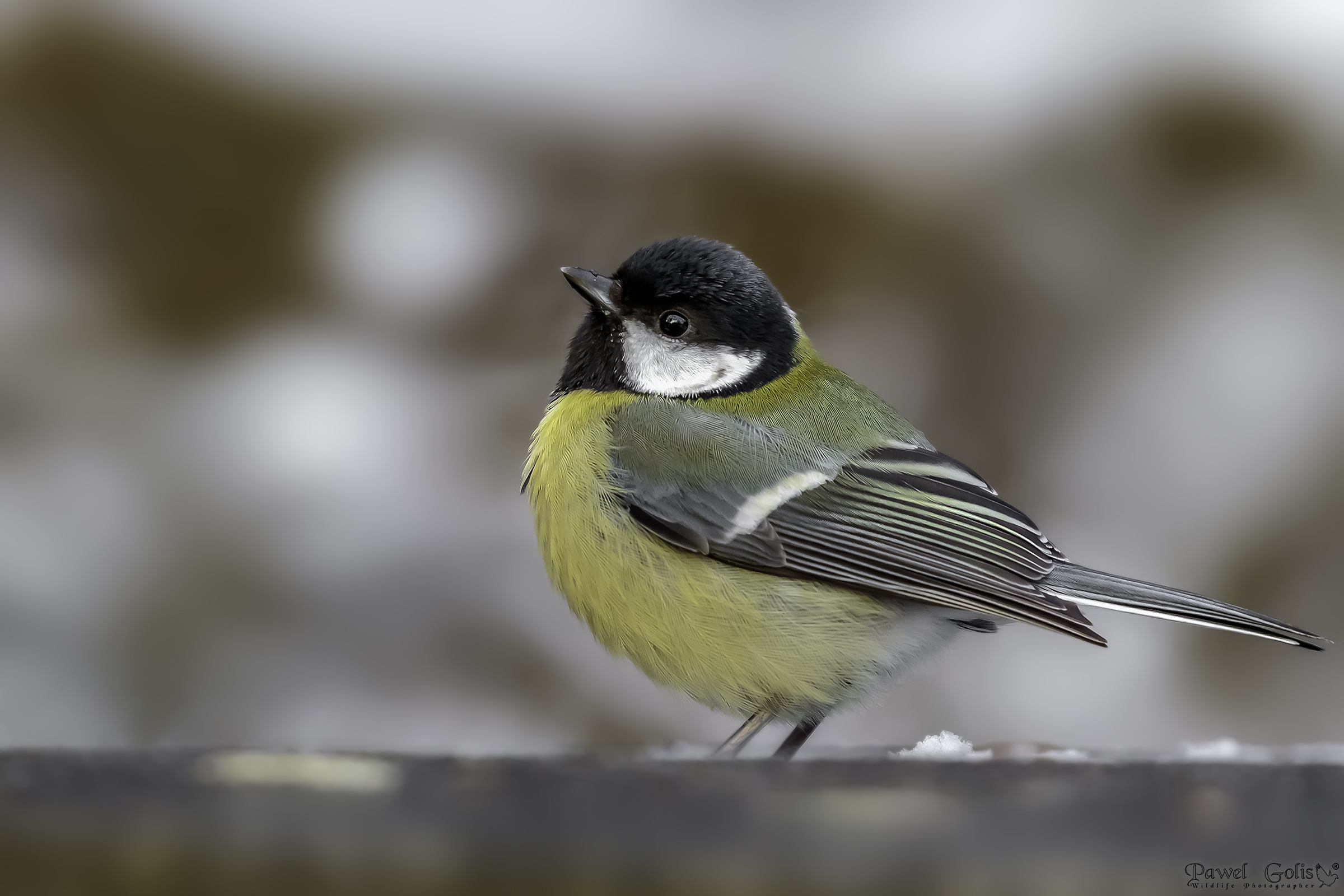 The great tit (Parus major)...