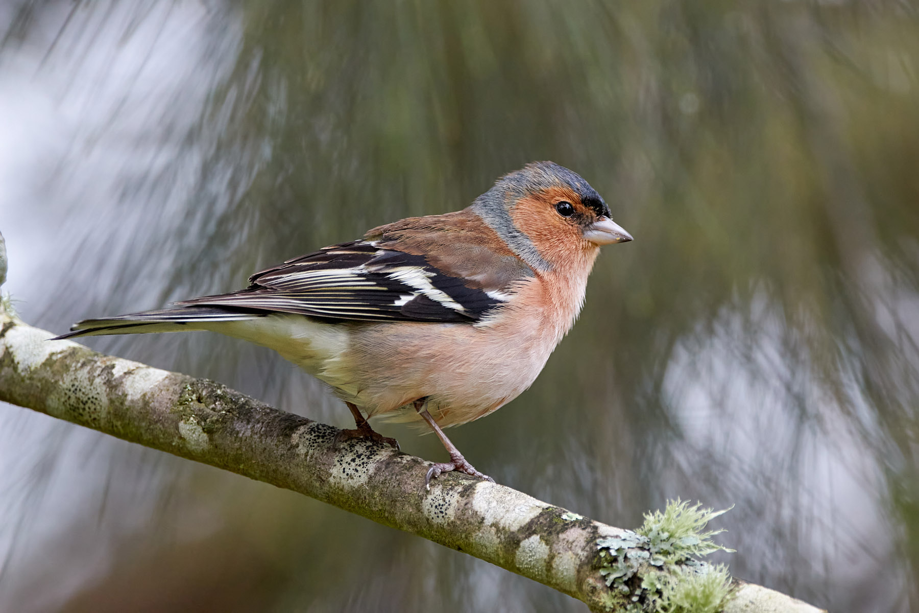 Common chaffinch (M)...