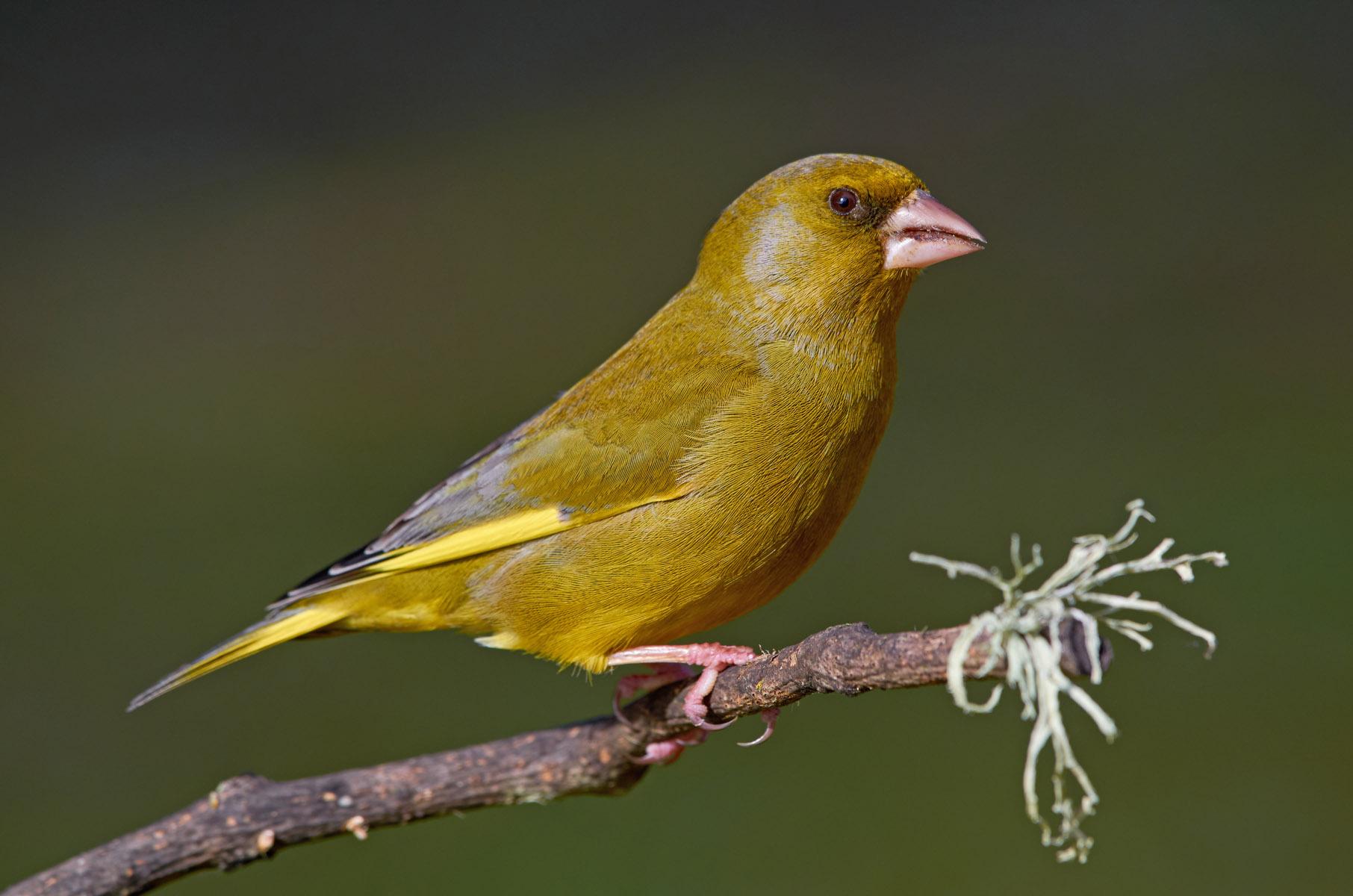 European greenfinch (M)...