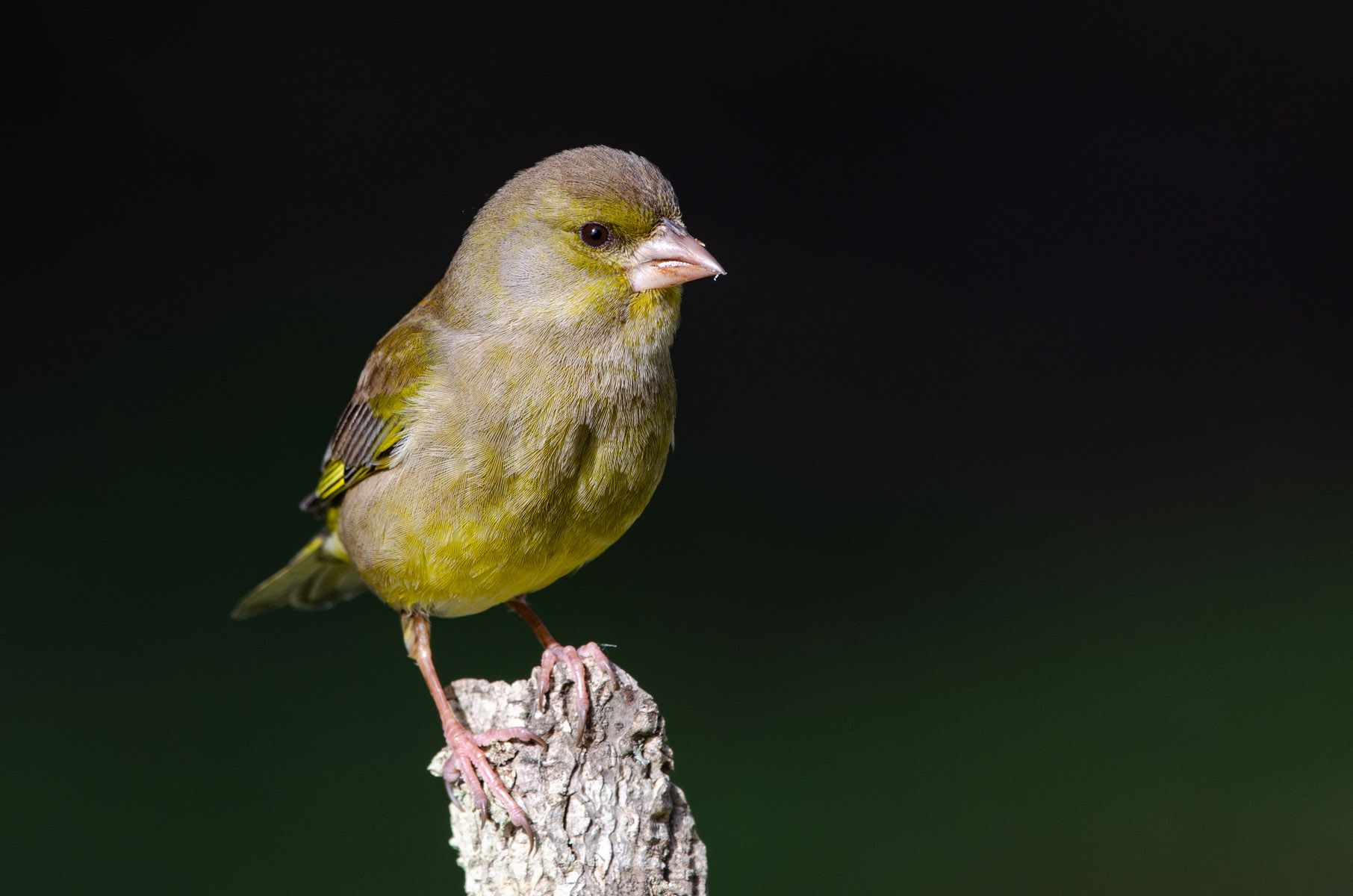 European greenfinch (F)...