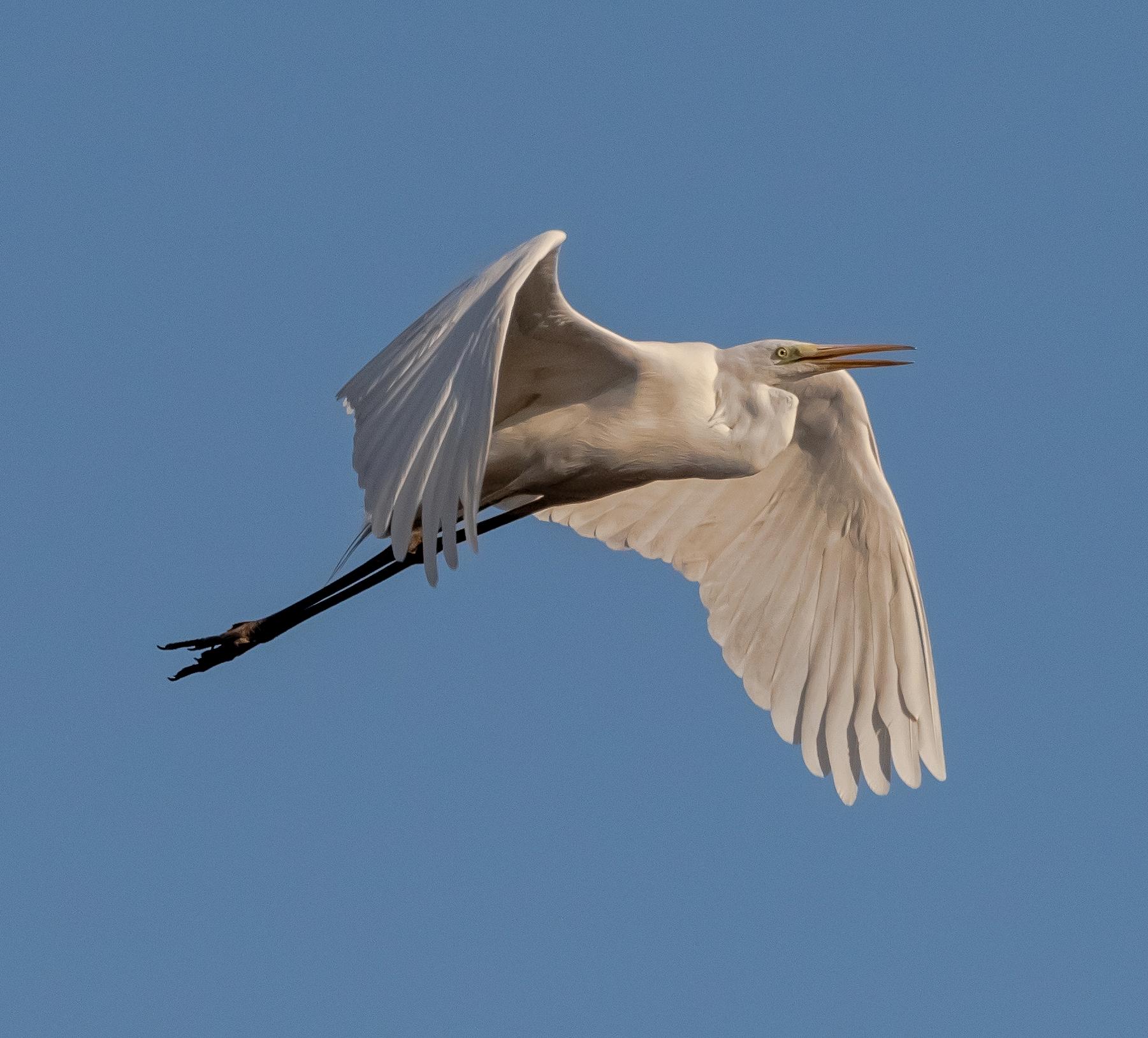 Heron Guardabuoi in flight Oasis Lipu 28/02/2021...