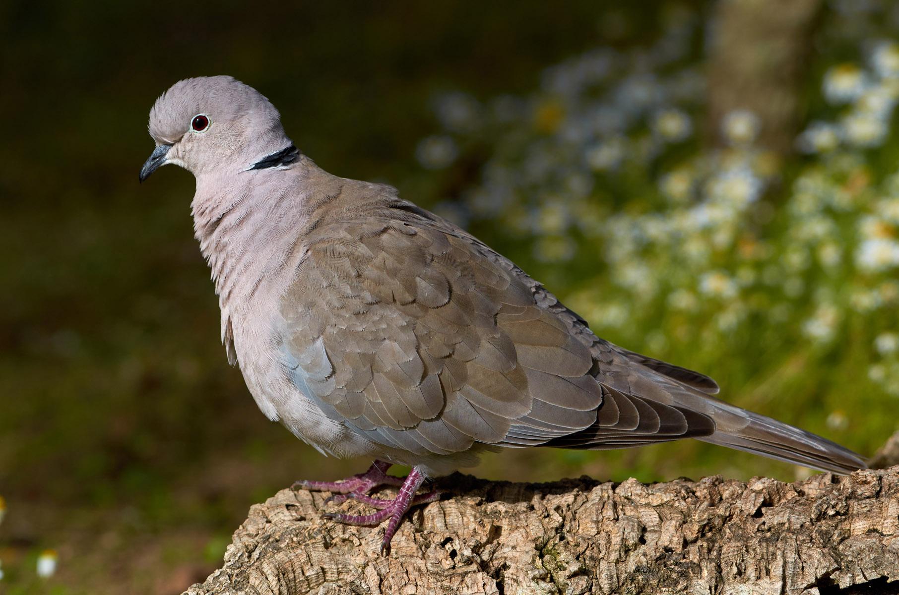 Eurasian collared dove...