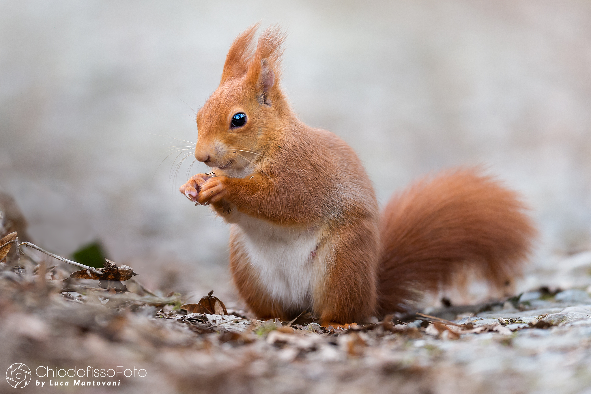 The red squirrel....