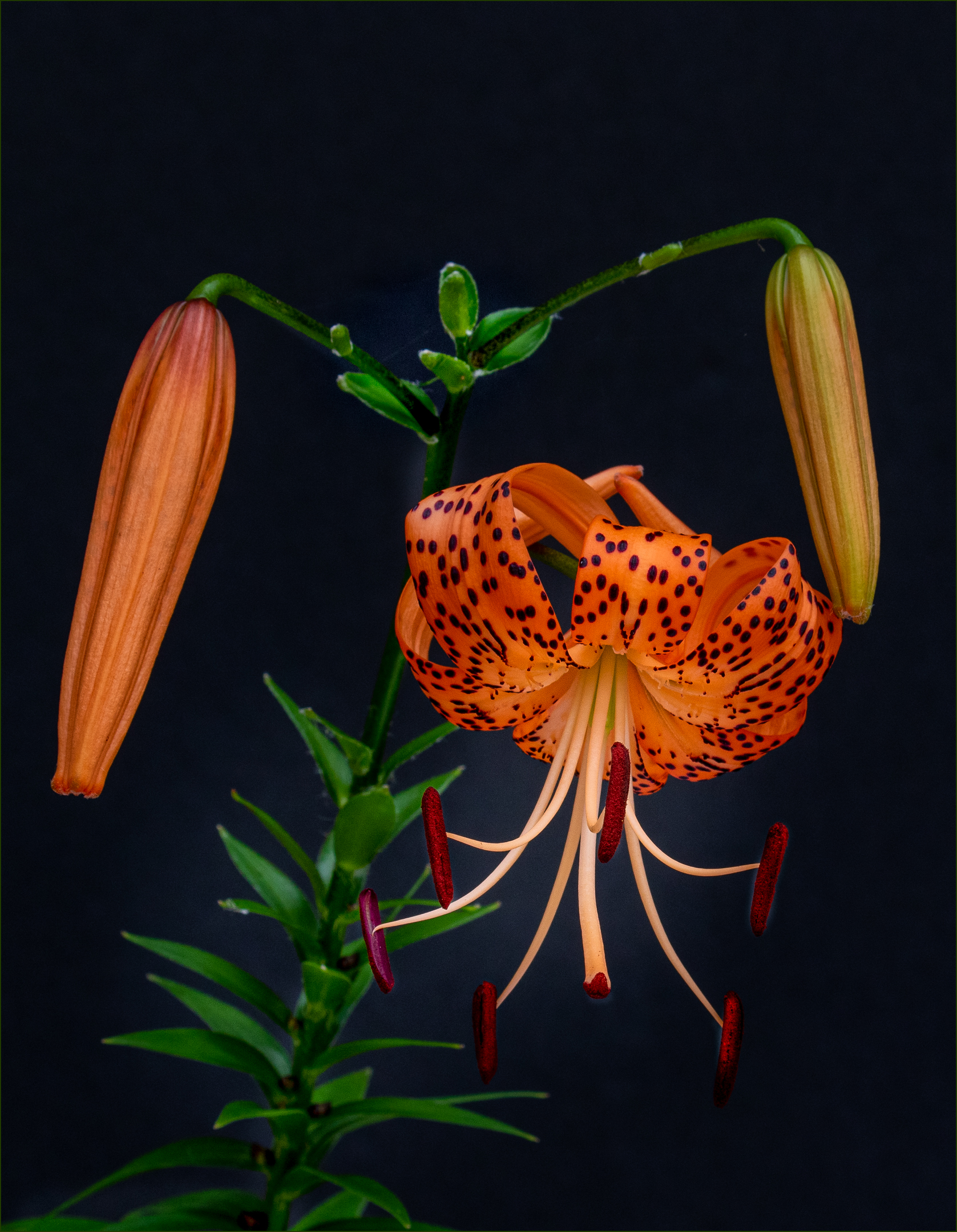 Portrait of Tiger Lilies...