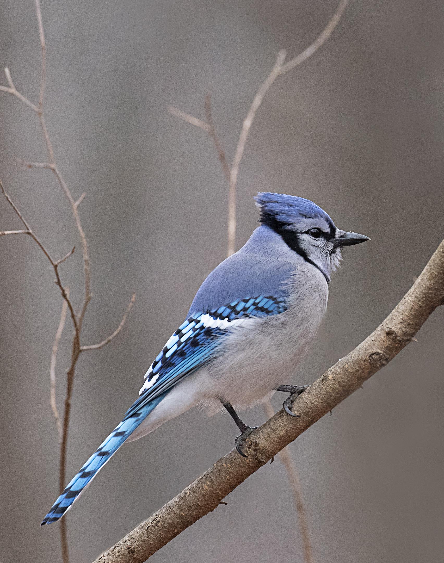 Bluejay in Tree....