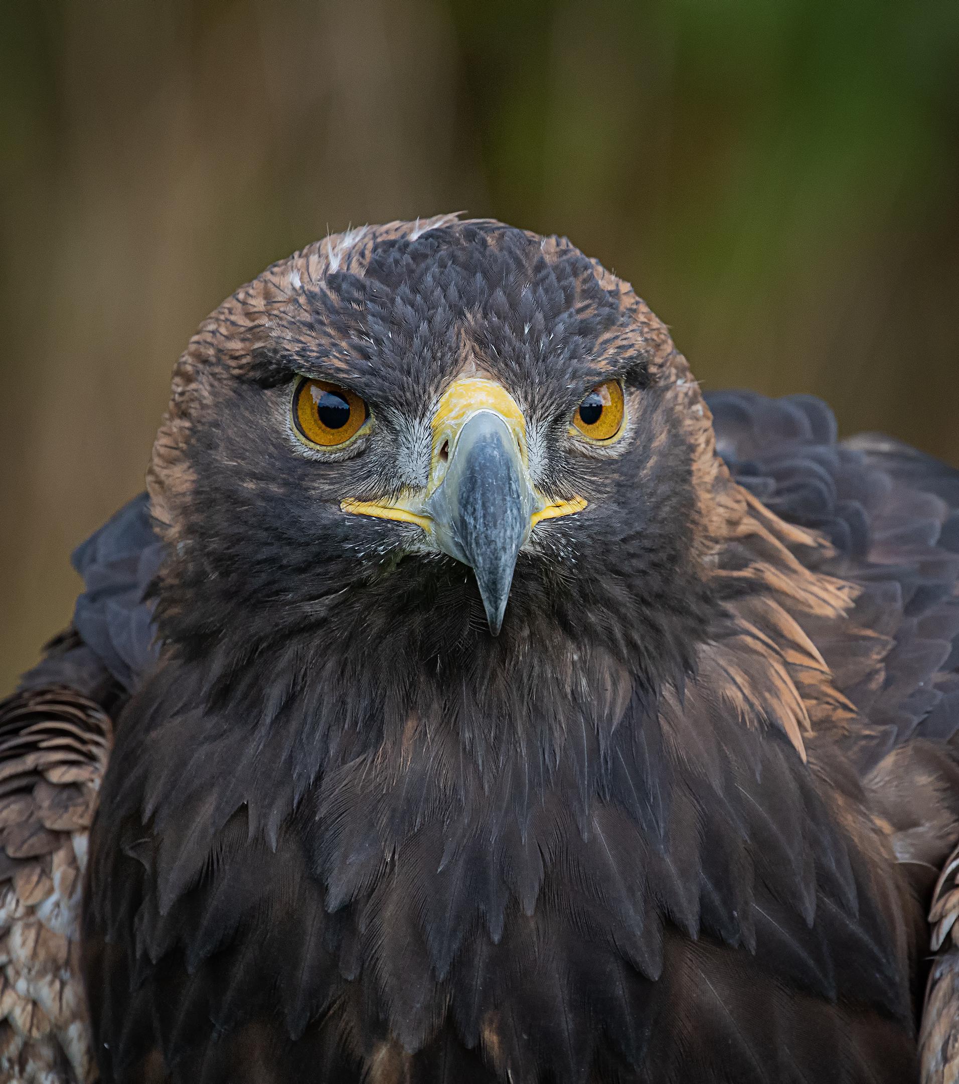 Portrait of a Golden Eagle....
