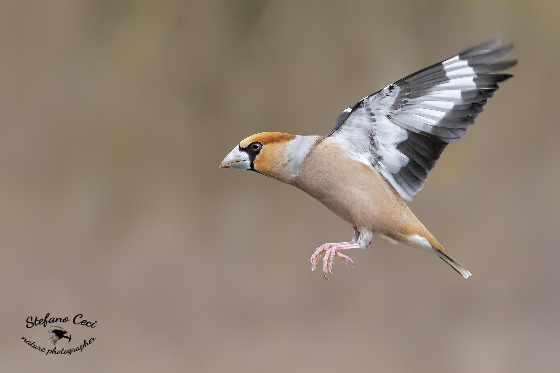 Male frosone in flight...