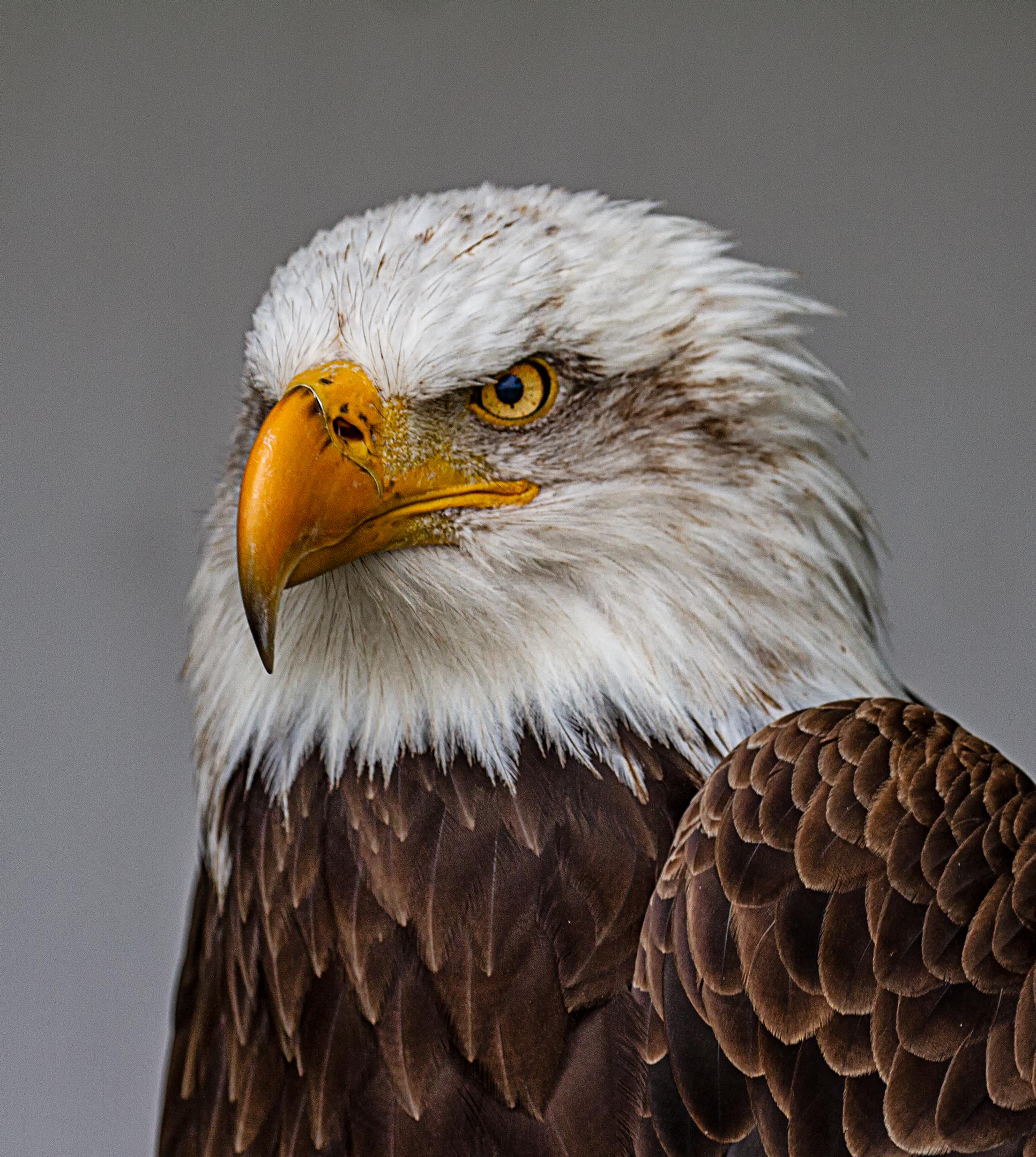 Portrait of a Bald Eagle....