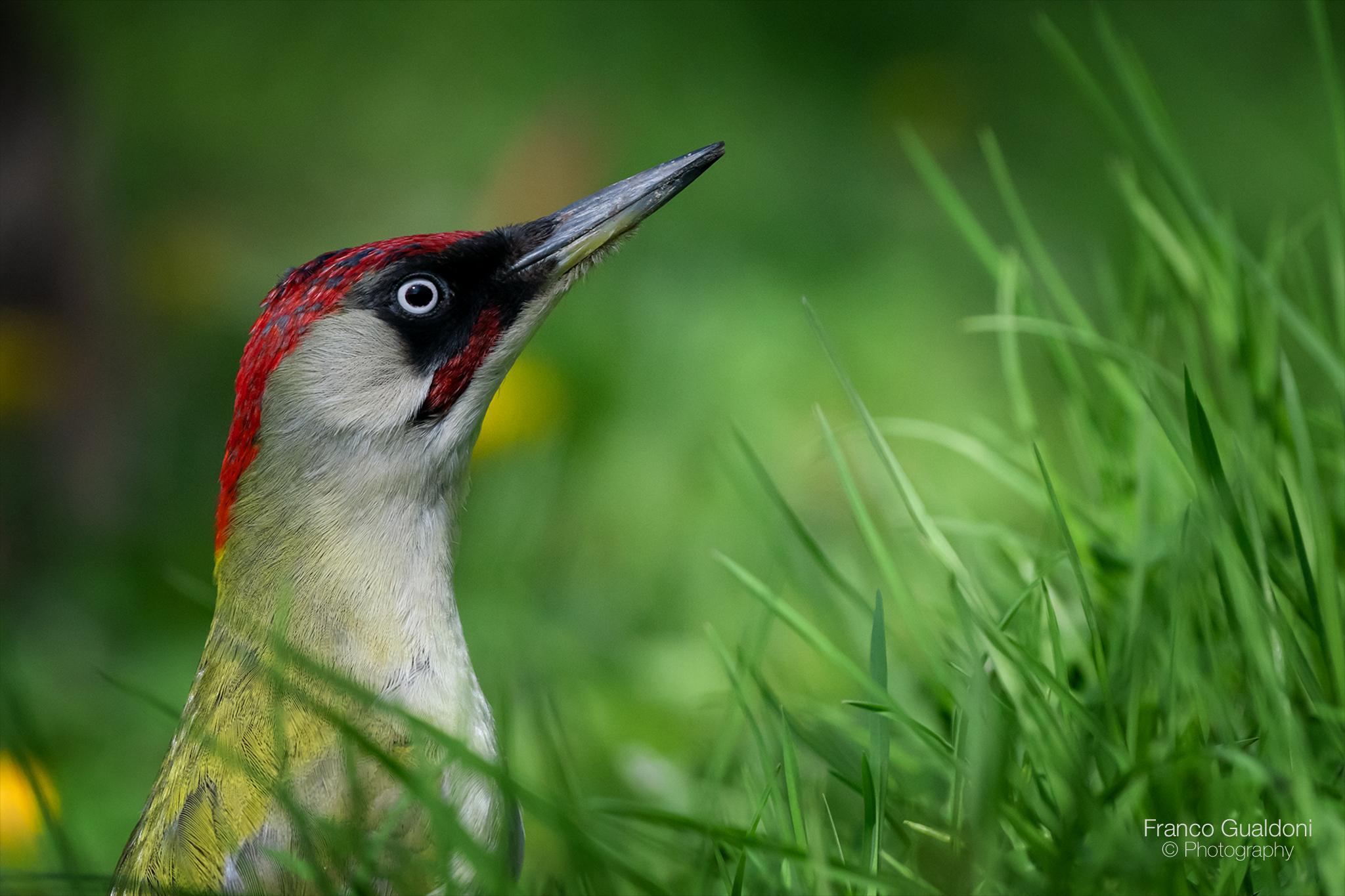 Portrait of Green Woodpecker.....