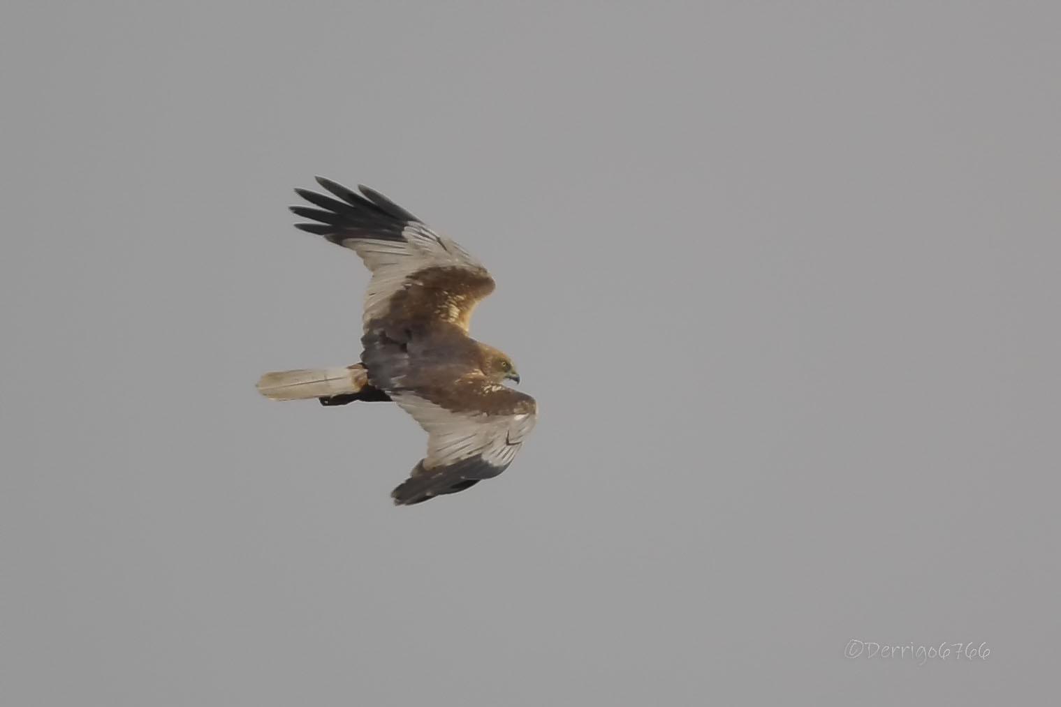 Marsh Harrier......