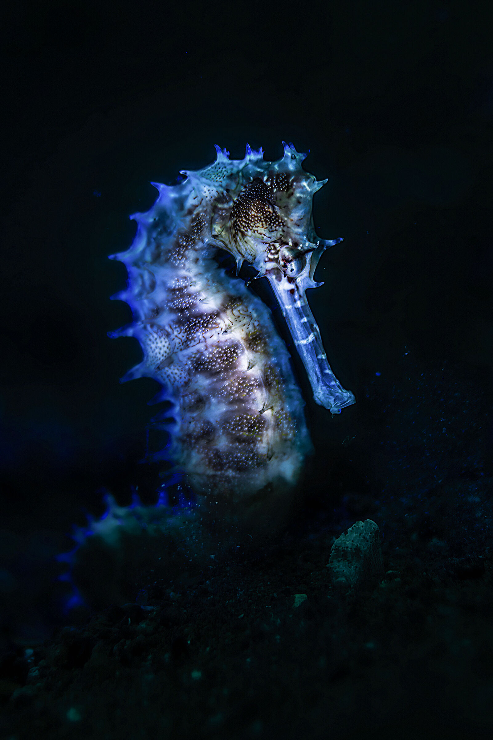 seahorse istrice blue backlight...