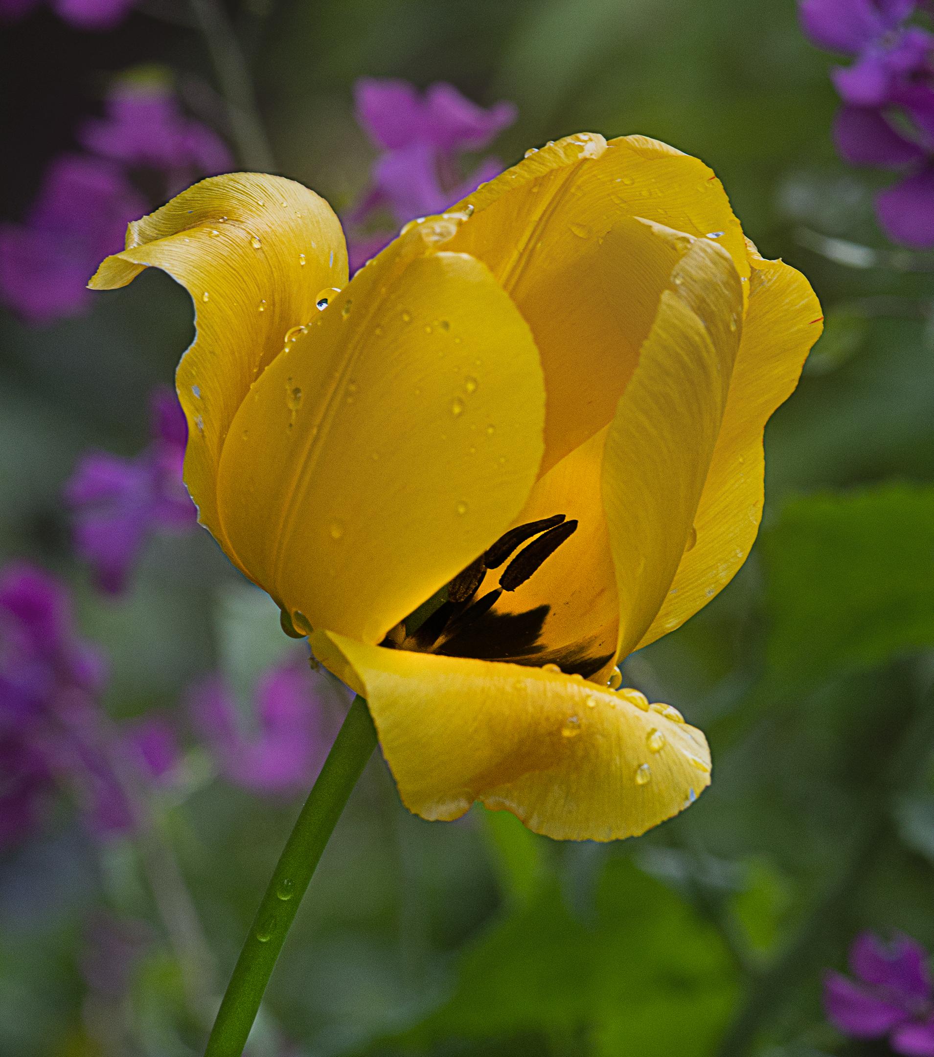 Yellow Tulip in the Rain....