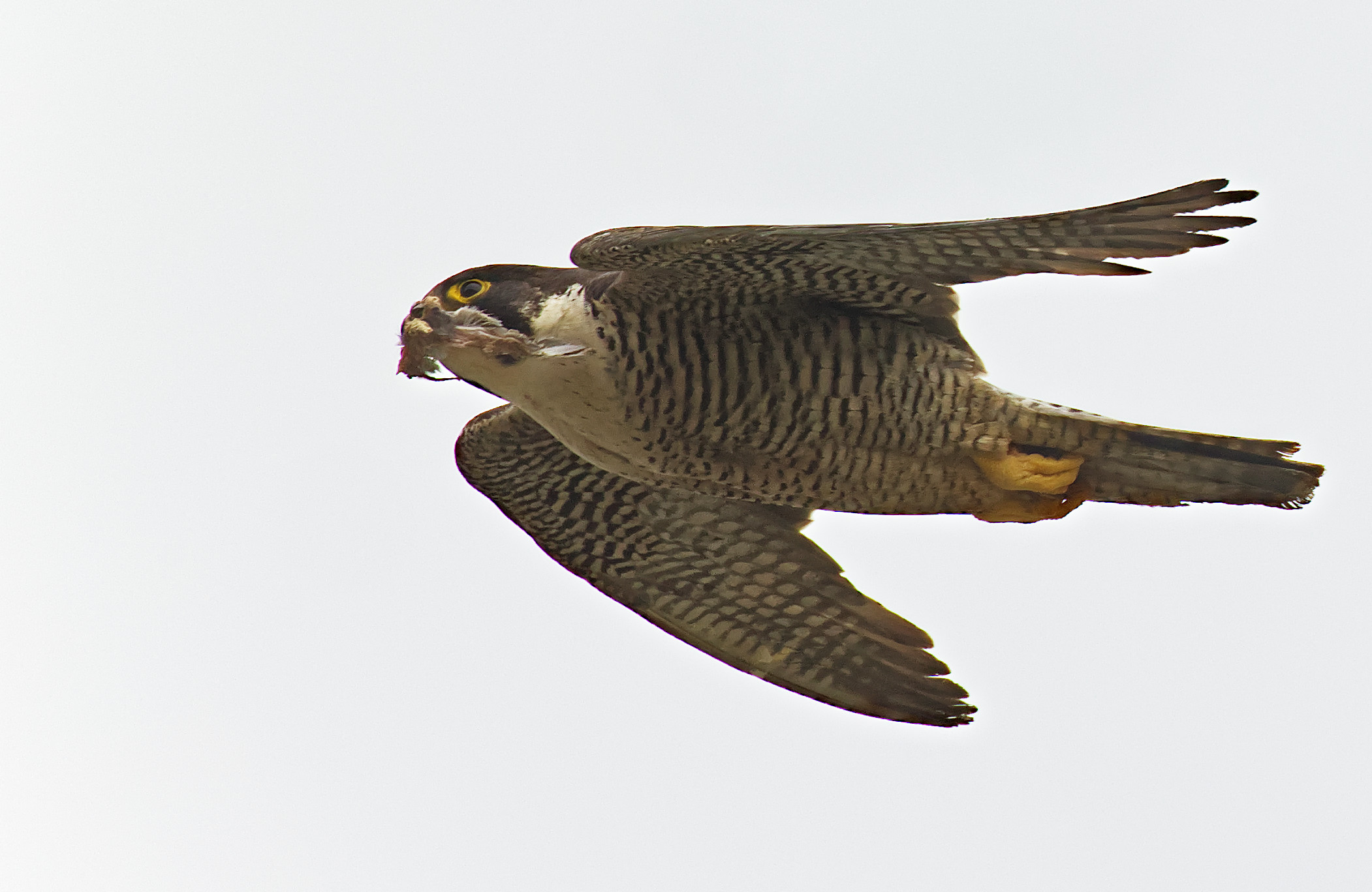Falcon moves out of nest unedible leftovers......