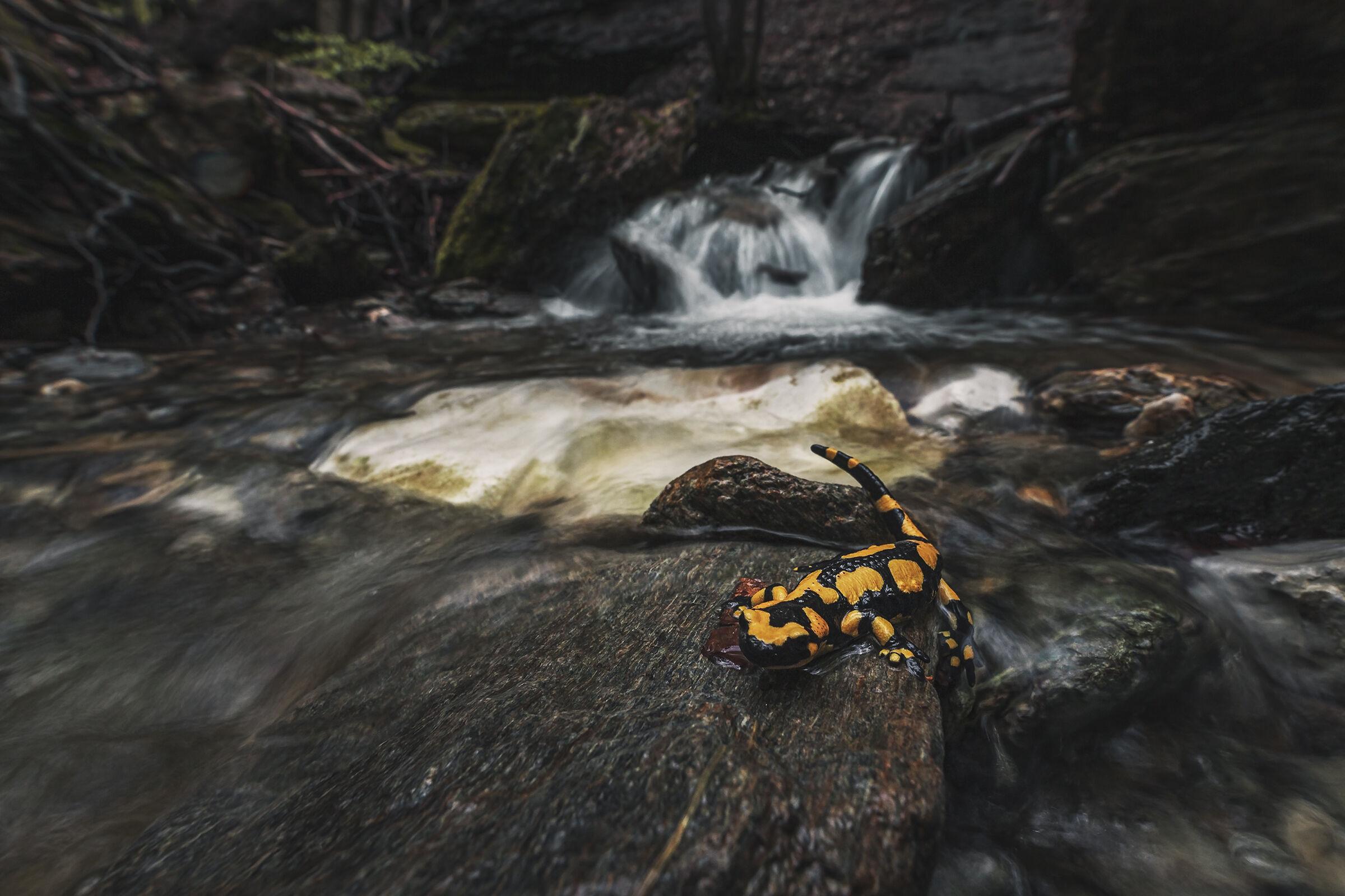 Salamandra Pezzata ...